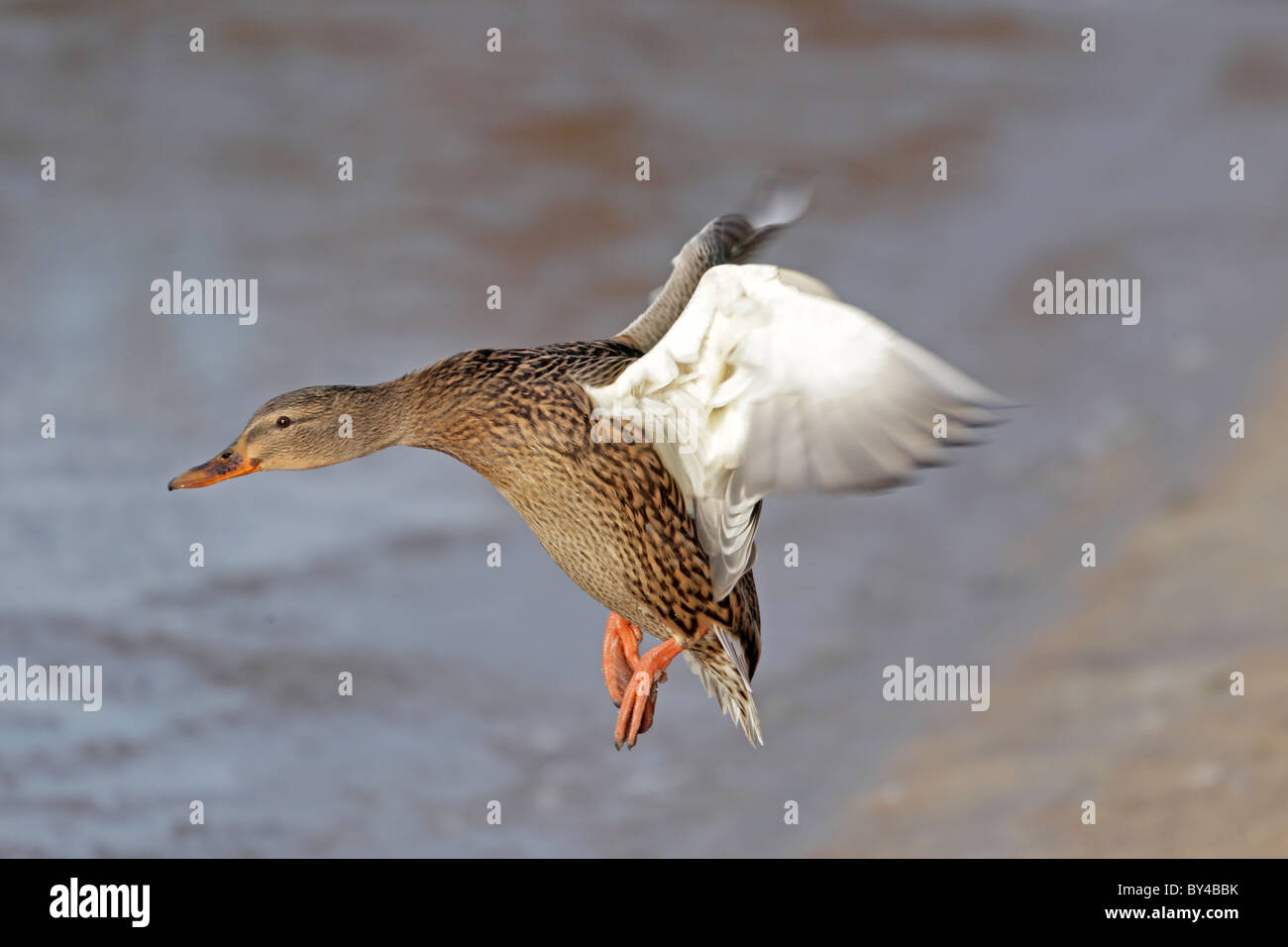 Female Mallard in flight - Stock Image