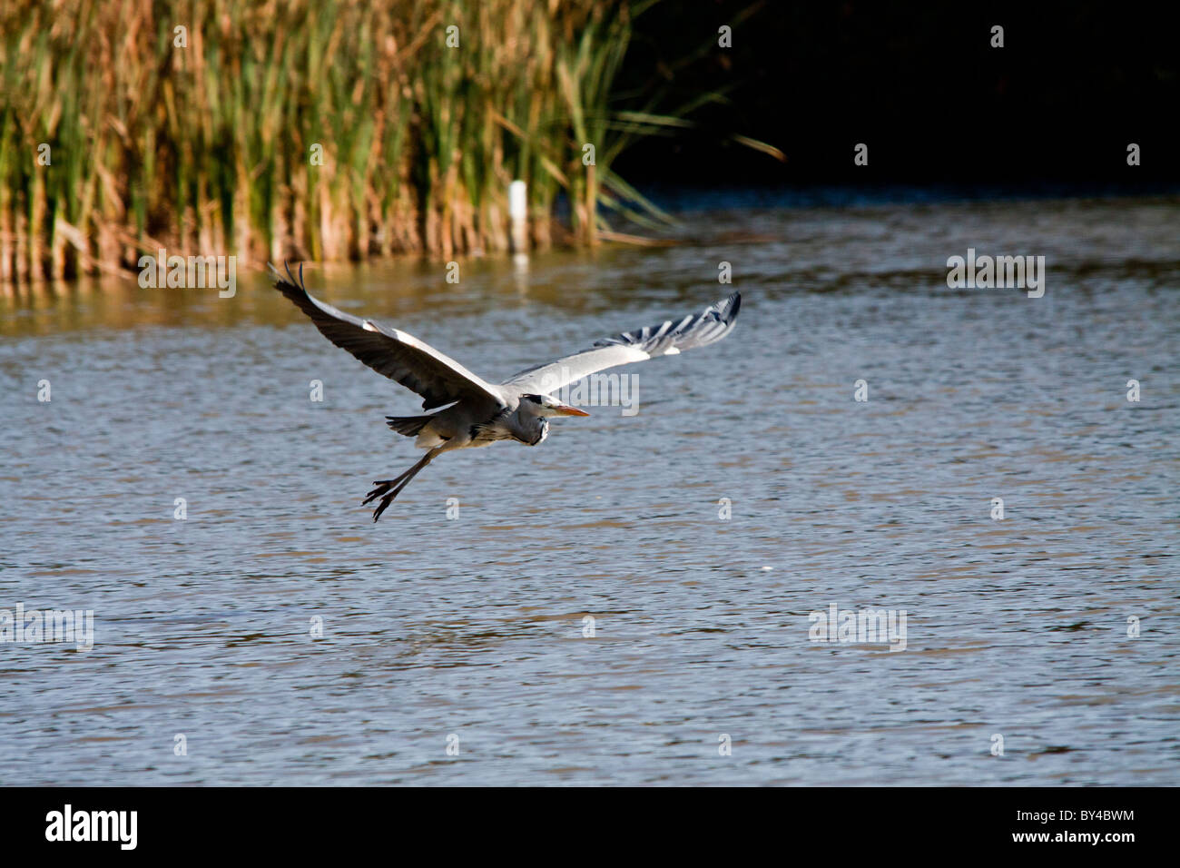 Grey Common Heroin as he takes off across the open waters. - Stock Image