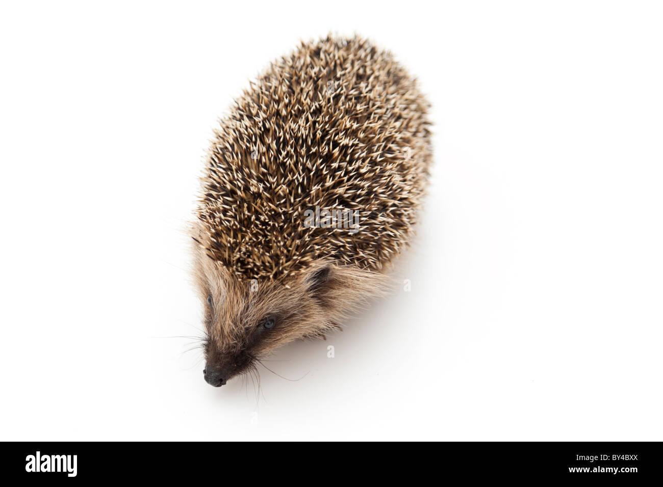 Little hedgehog - Stock Image