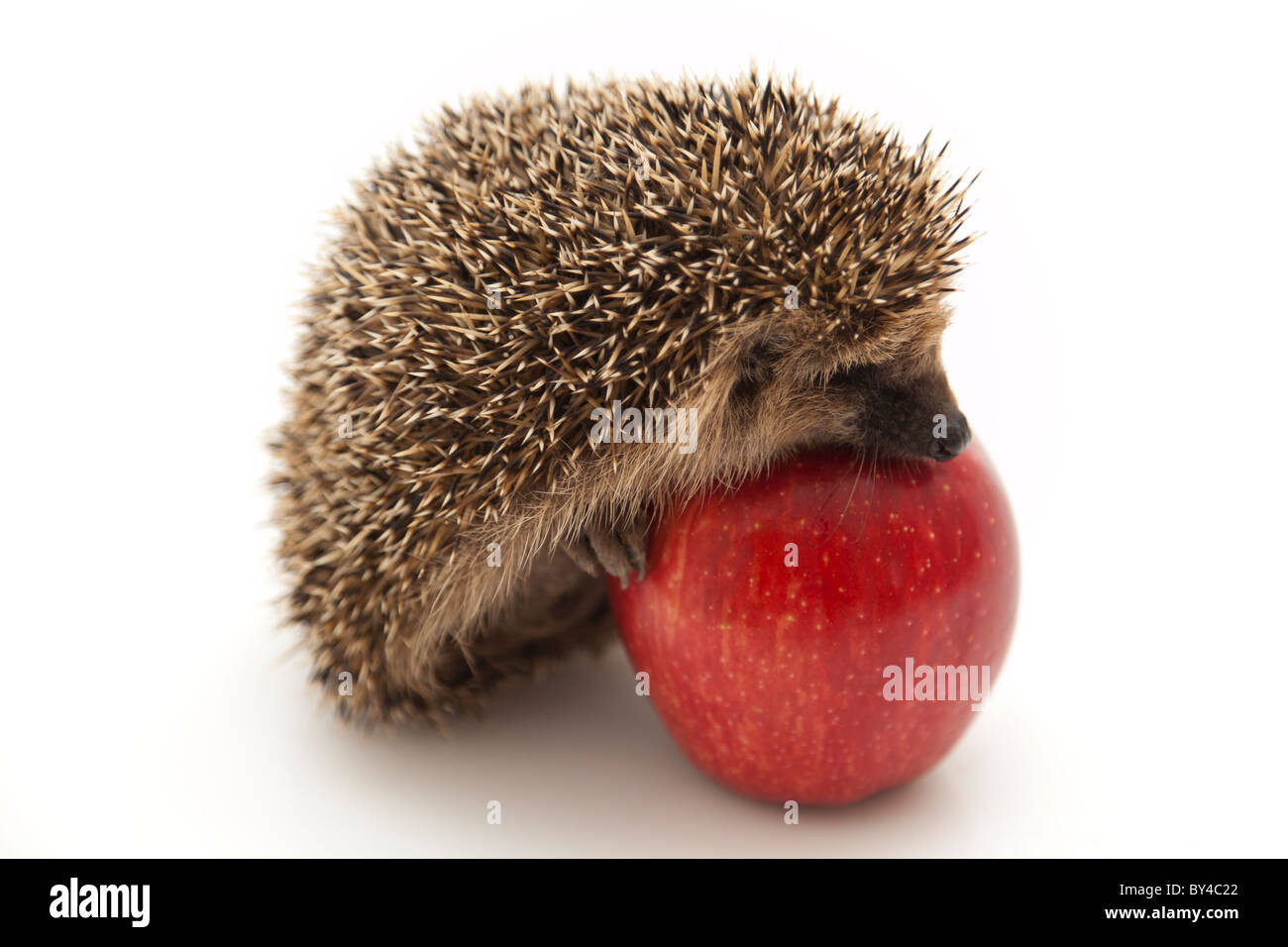 Little hedgehog and apple - Stock Image