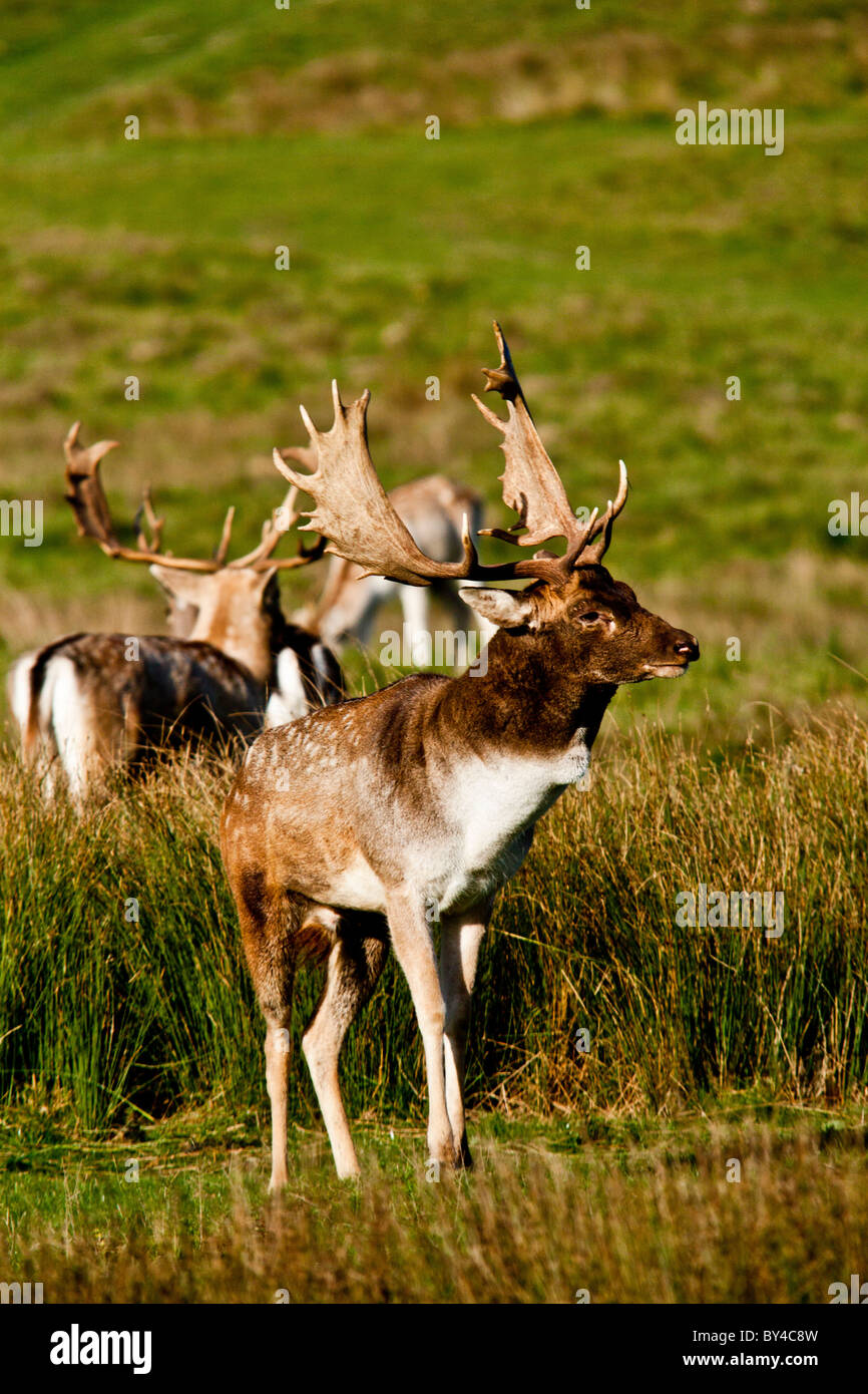 Male Fallow Deer Stag Showing off his stuff before being his rut - Stock Image