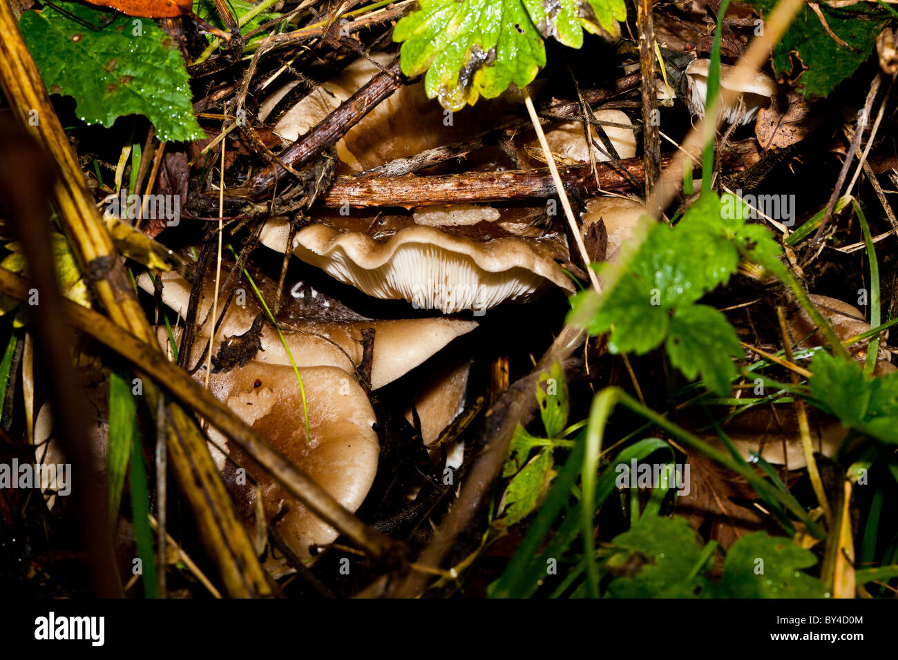 clouded funnel clitocybe nebularis - Stock Image