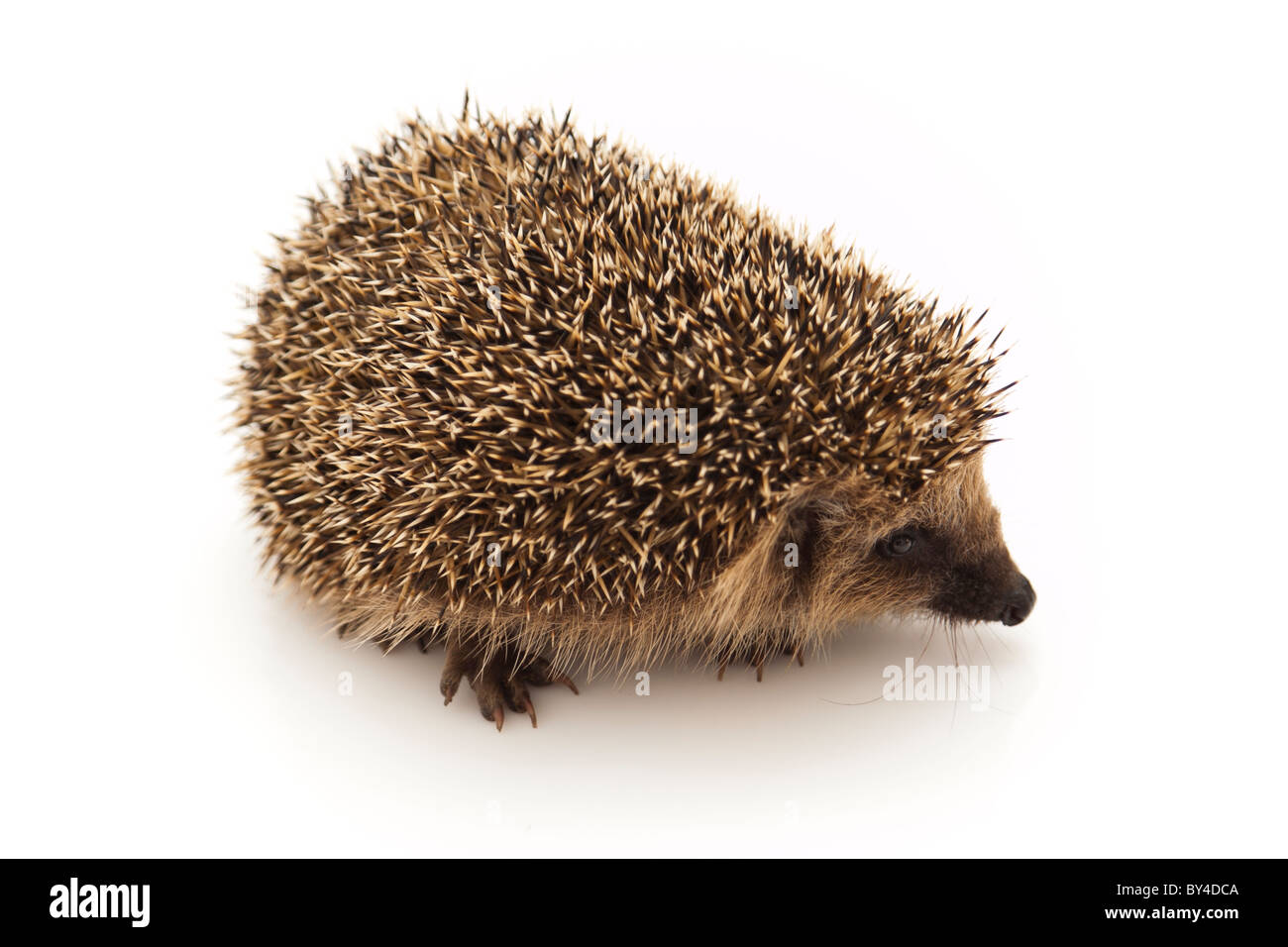 Hedgehogs have changed little over the last 15 million years. - Stock Image