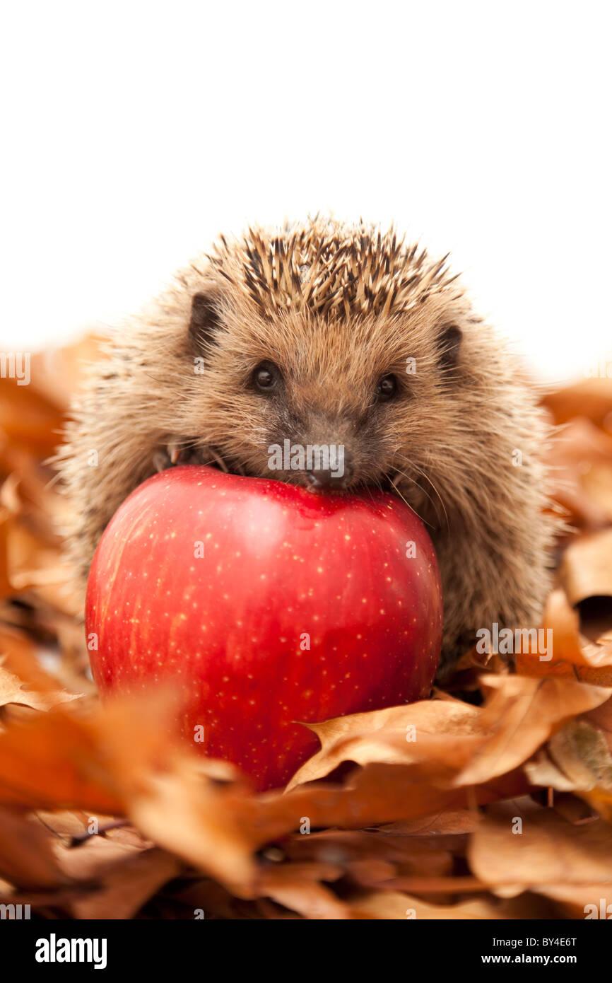Hedgehog sitting on leaves - Stock Image