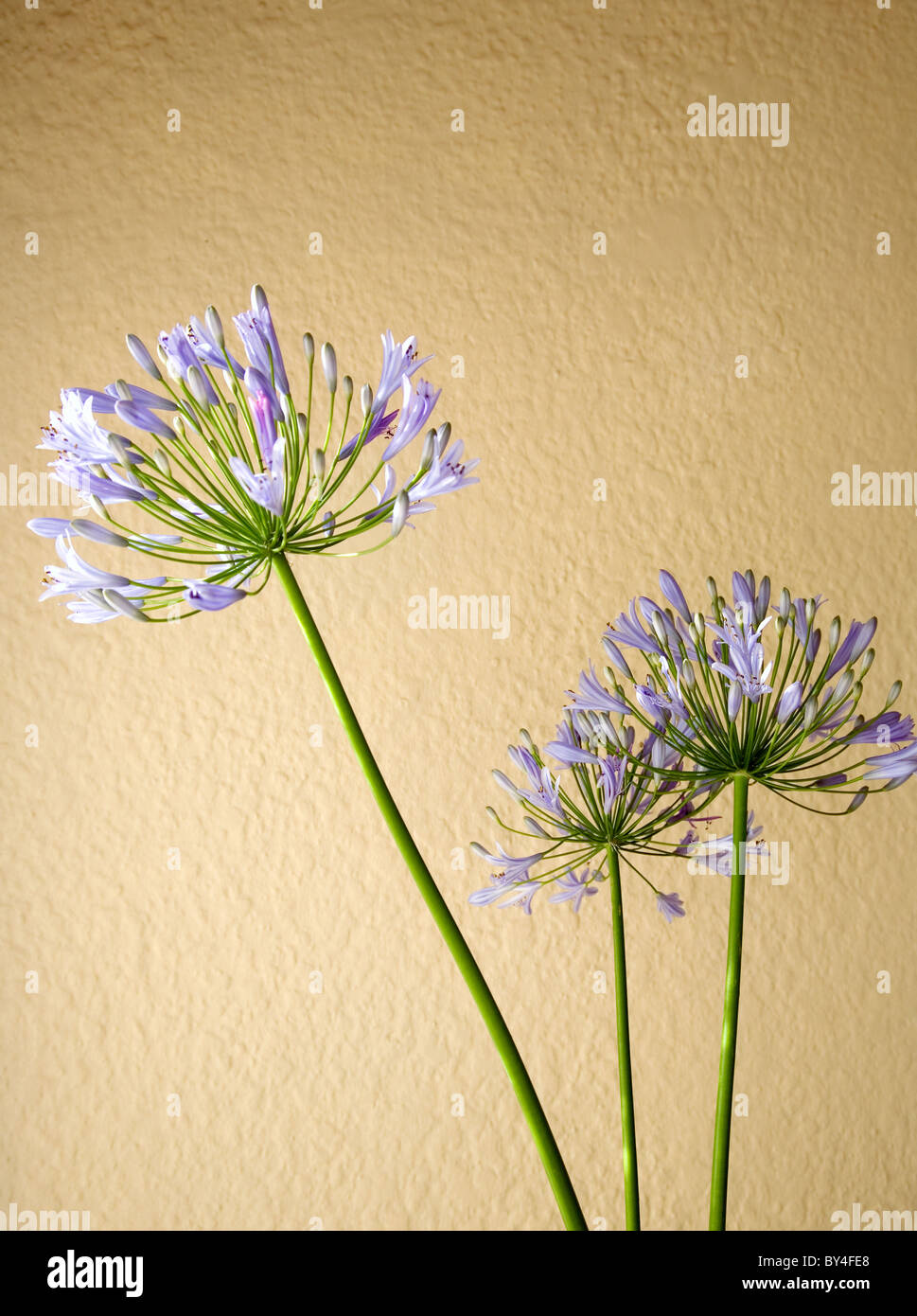Agapanthus stems  against a yellow/beige wall - Stock Image