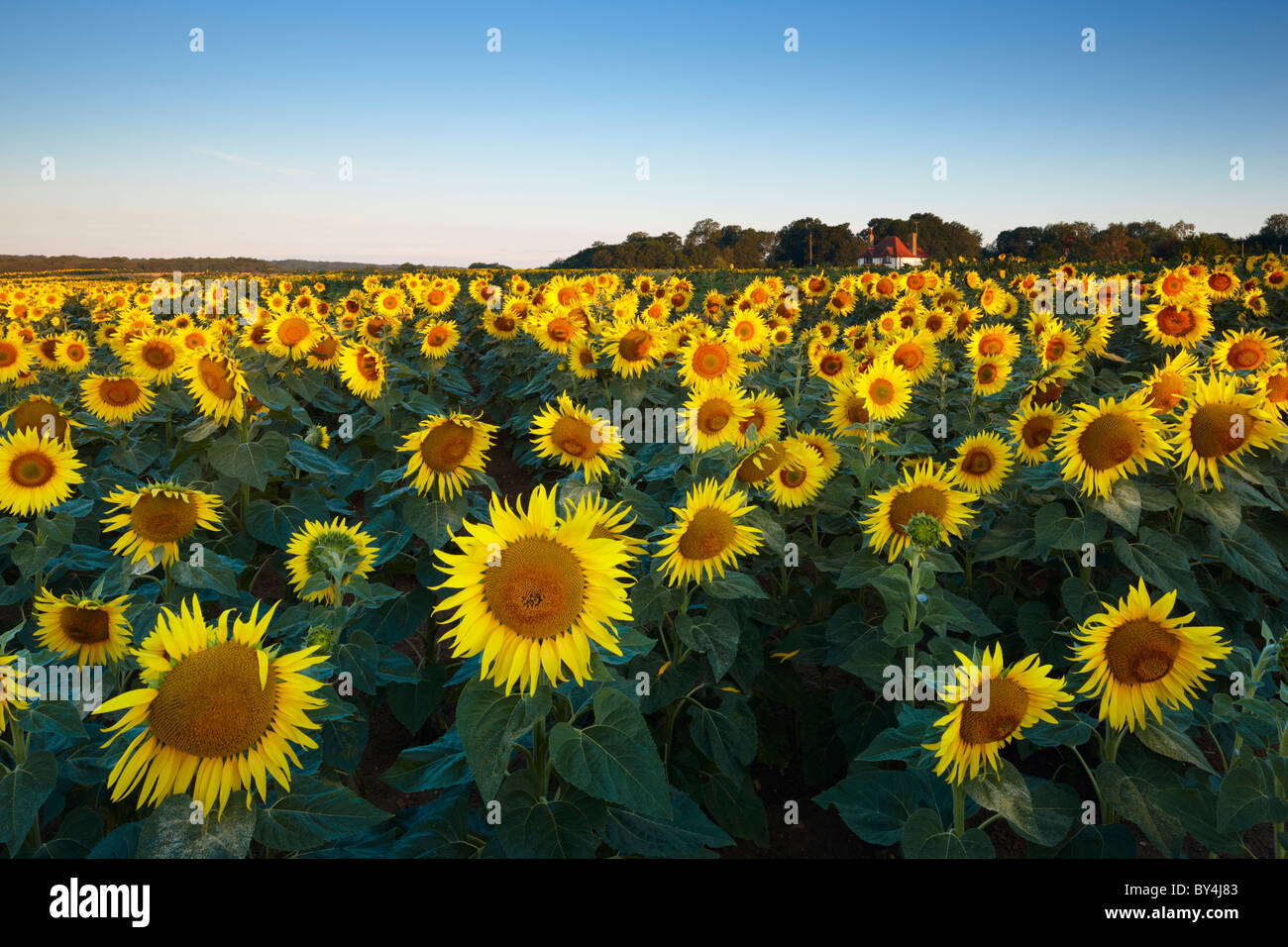 Field of sunflowers West Sussex. - Stock Image