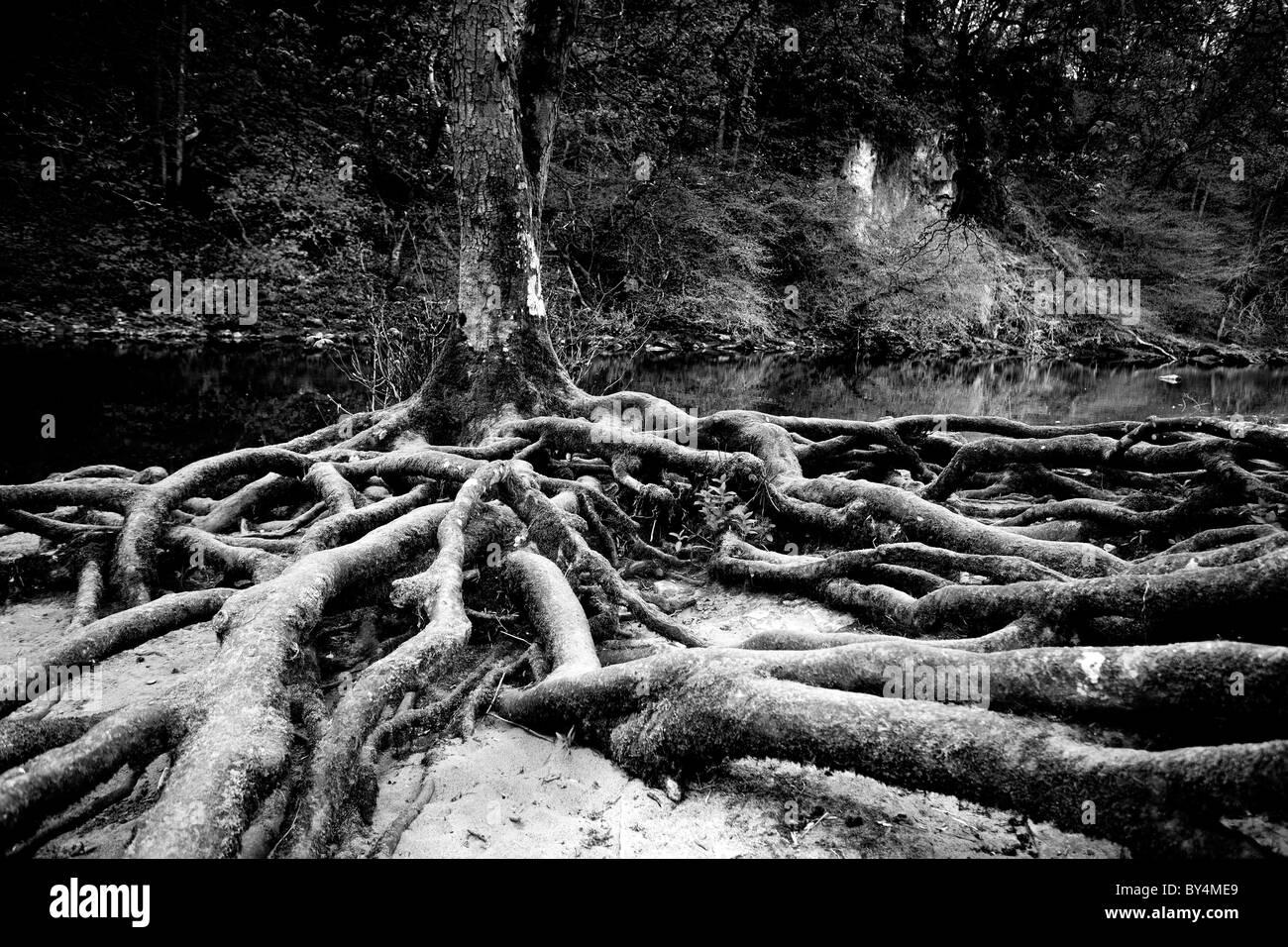 Tree roots at Aysgarth Falls, North Yorkshire Dales, England - Stock Image