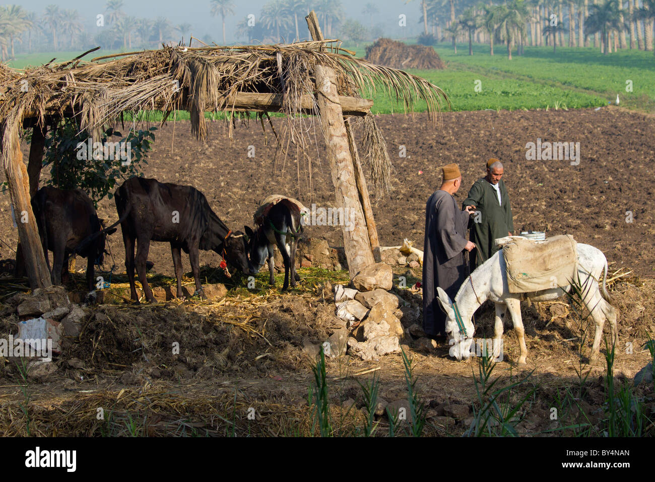 Cow shed in the fields outsider Saqqara, Egypt 2 - Stock Image