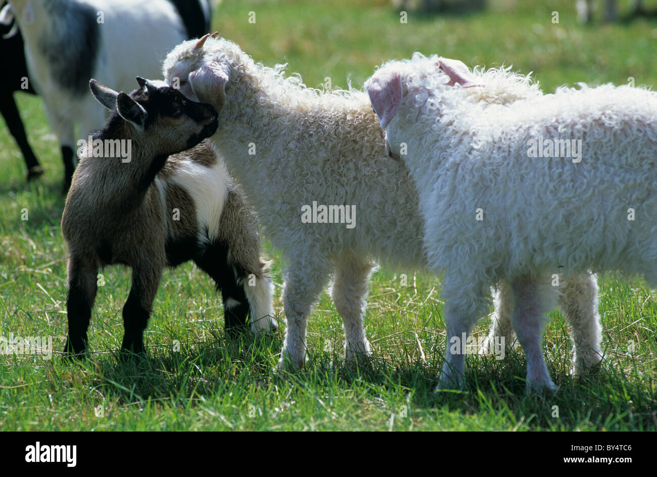 Pygmy goat kid with two Angora goat kids - Stock Image