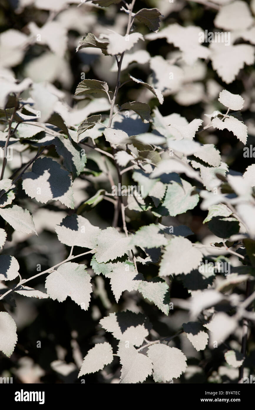 Birch leaves covered with mud and dirt - Stock Image