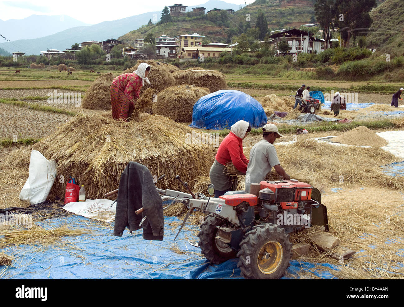 Harvesting rice in Paro valley in Bhutan, one of the mountainous country's few flat places - Stock Image