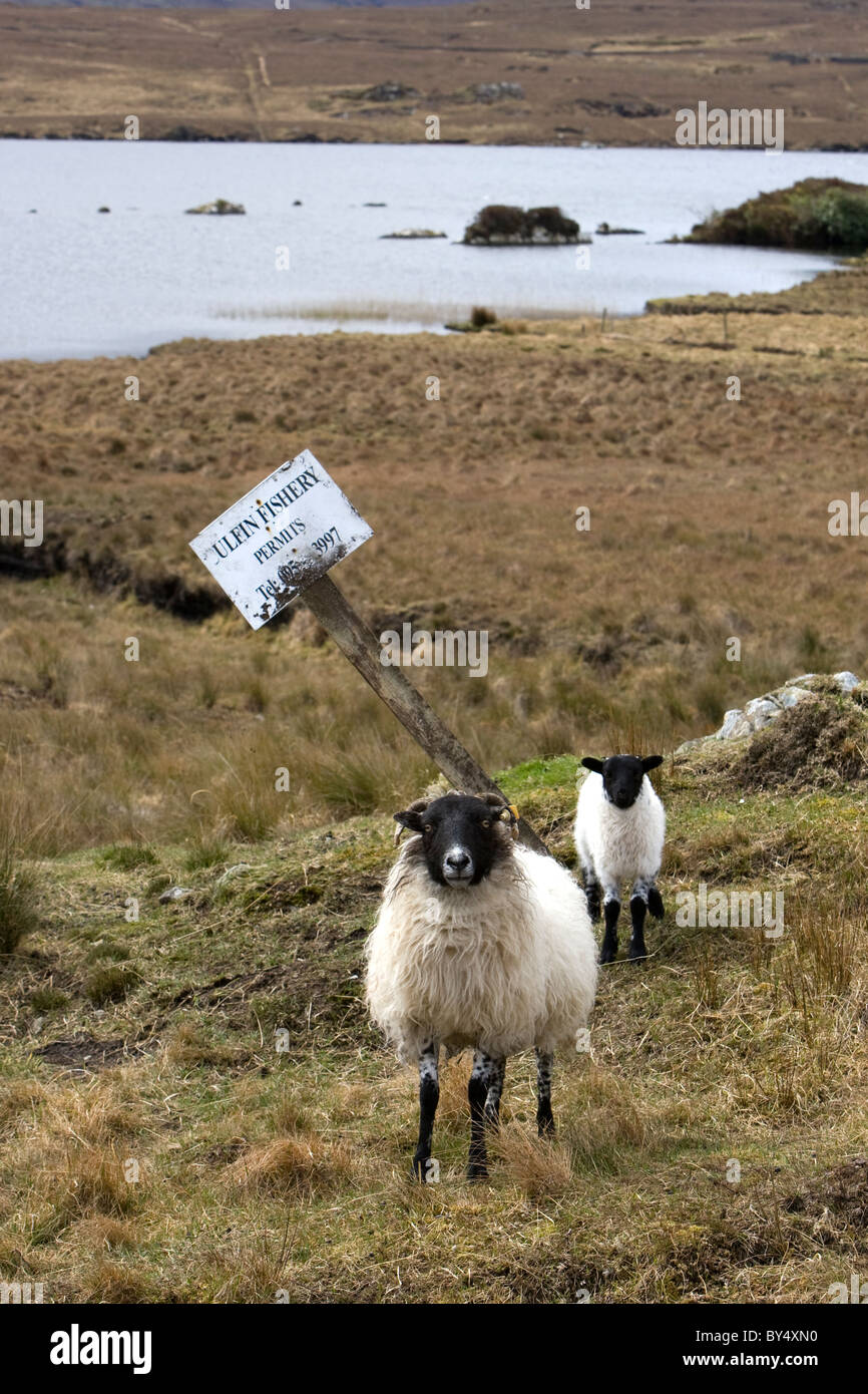 Sheep stand near a sign for Culfin Fishery, Galway, Ireland. - Stock Image