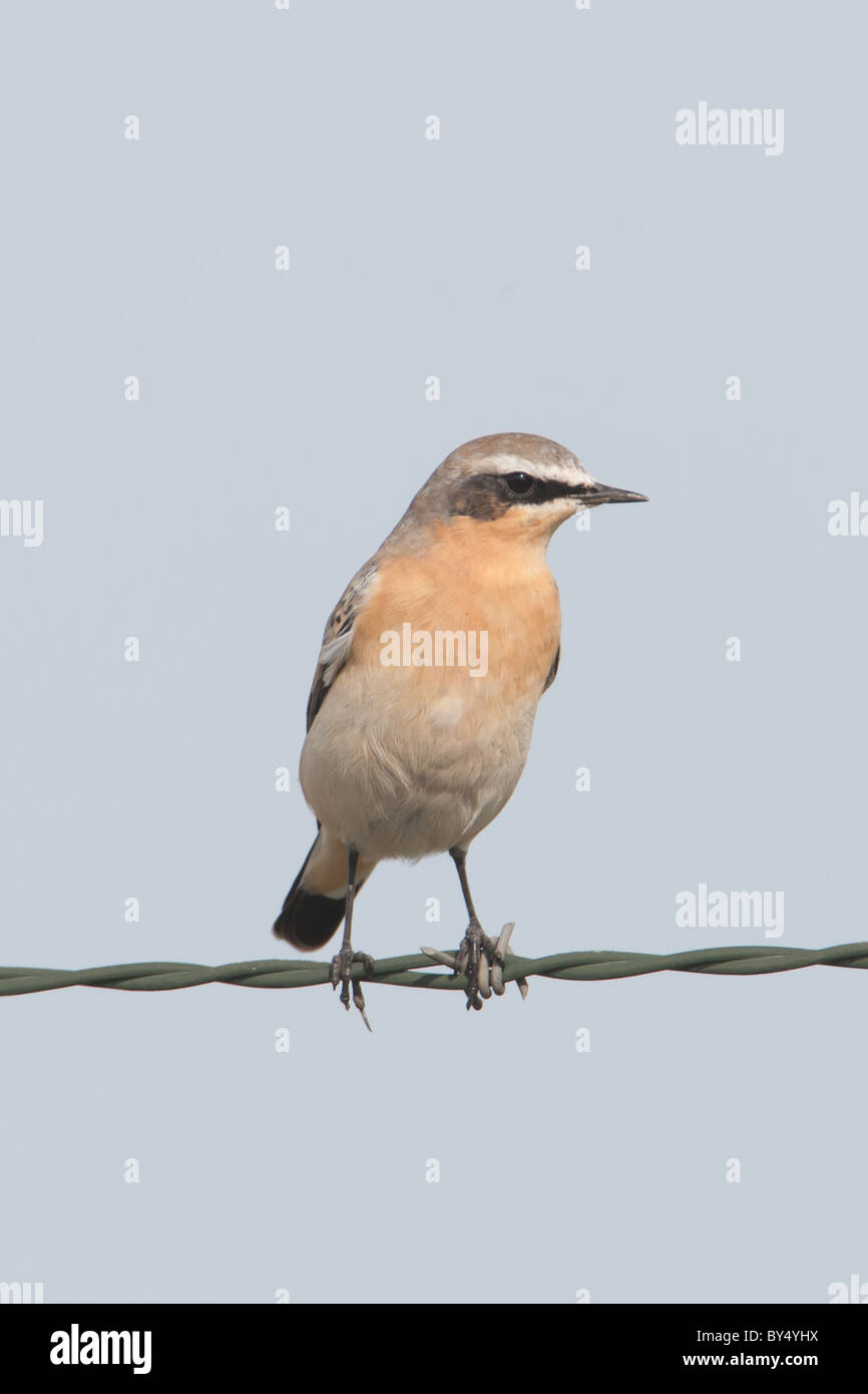 A male Northern Wheatear (Oenanthe oenanthe) perches on a barbed-wire fence. - Stock Image
