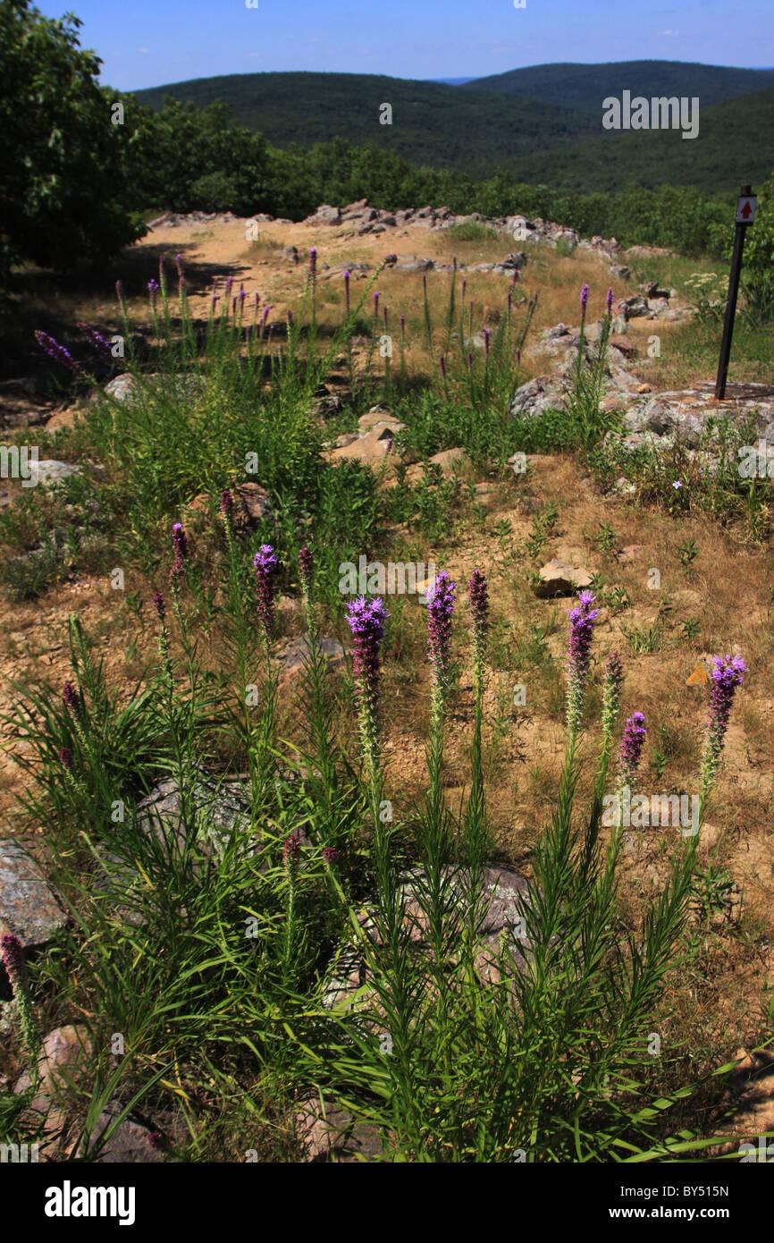 Blazing star flower Taum Sauk Mountain State Park Missouri - Stock Image