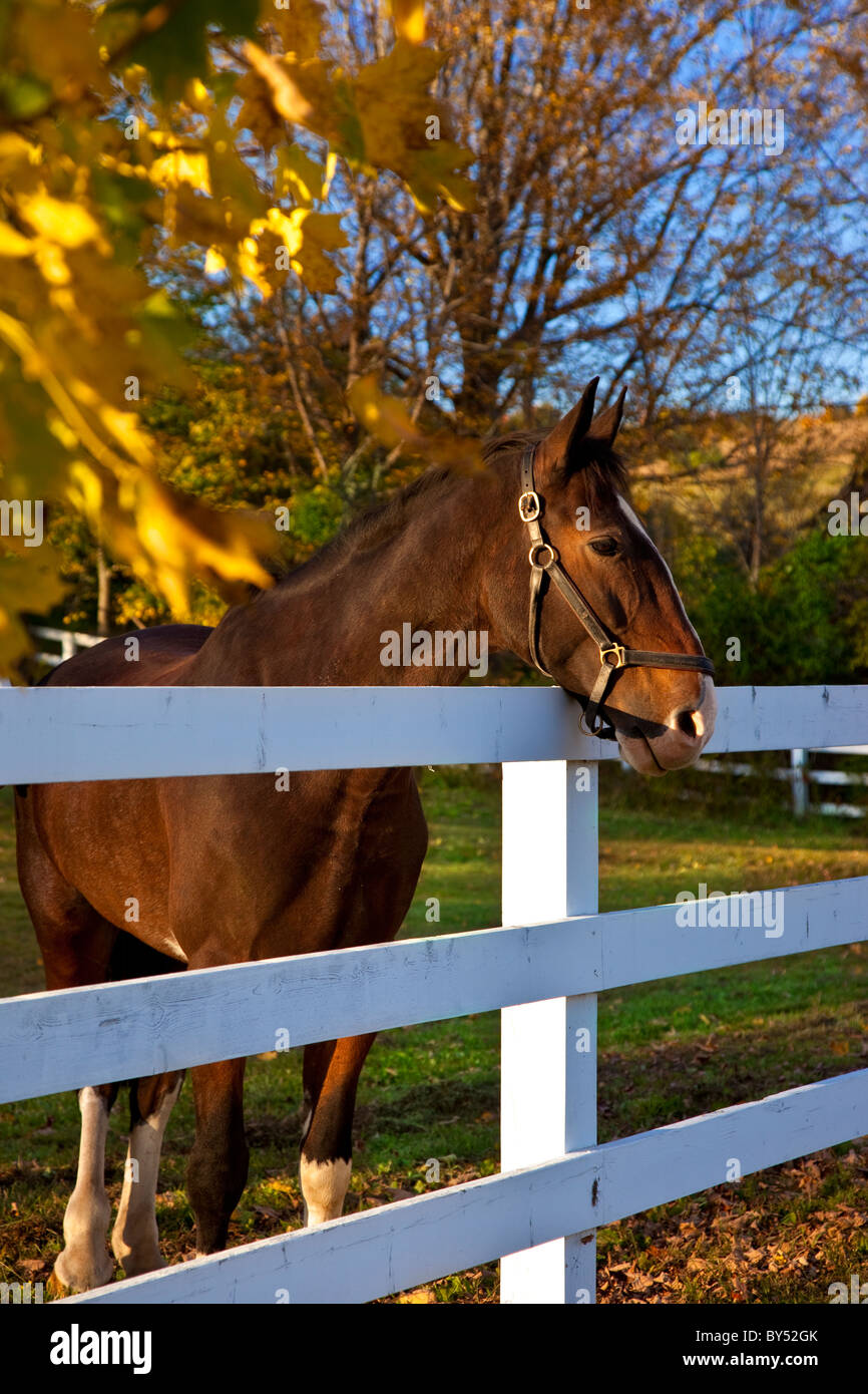 Curious horse along a fence-line at a horse farm near Woodstock Vermont, USA - Stock Image
