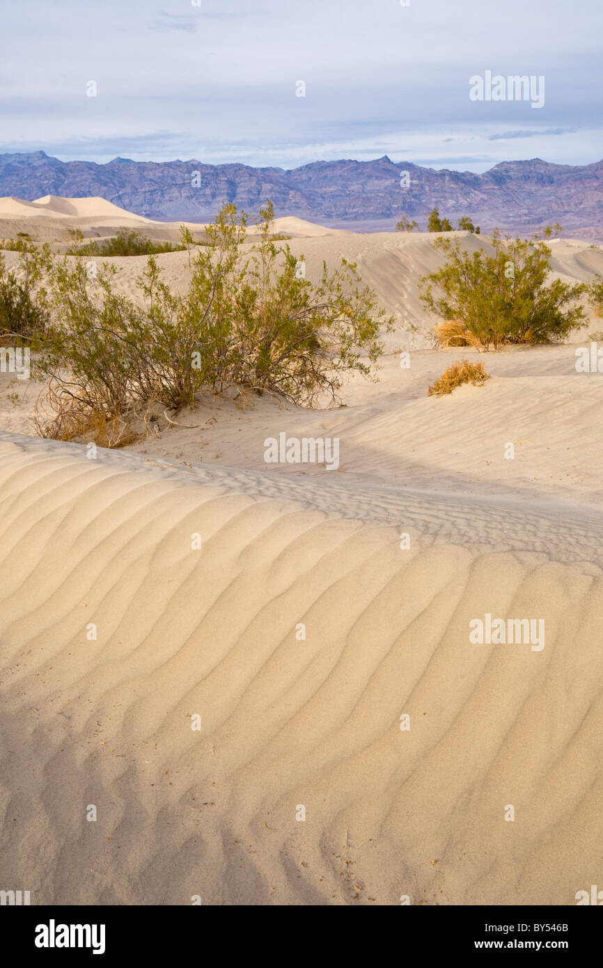 Sand ripple pattern with Creosote bushes, Larrea tridentata, at the Mesquite Flat Sand Dunes, Death Valley, California - Stock Image