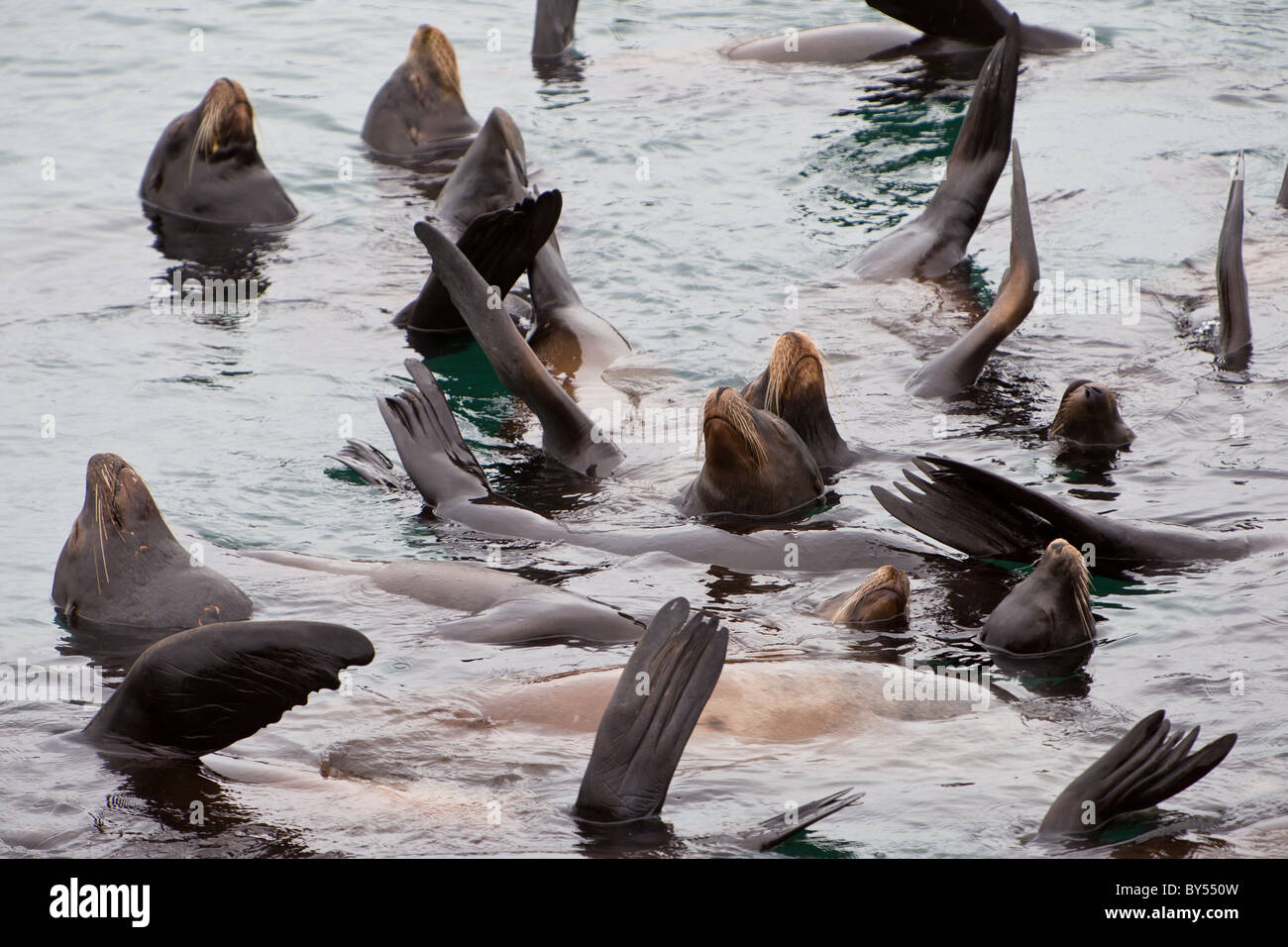 Group of California Sea Lions (Zalophus californianus) with flippers raised to warm themselves in Monterey Bay, - Stock Image