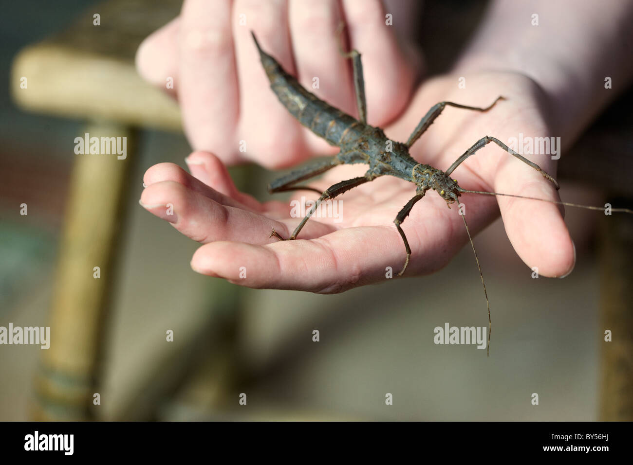Trachyaretaon Bruekneri, Giant Thorny Stick insect, kept as a pet, with it's young owner. - Stock Image