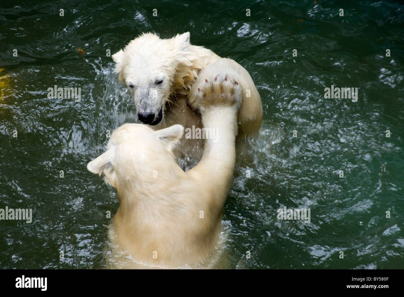 Kids of Polar Bear (Ursus maritimus, Thalarctos maritimus) in water Stock Photo