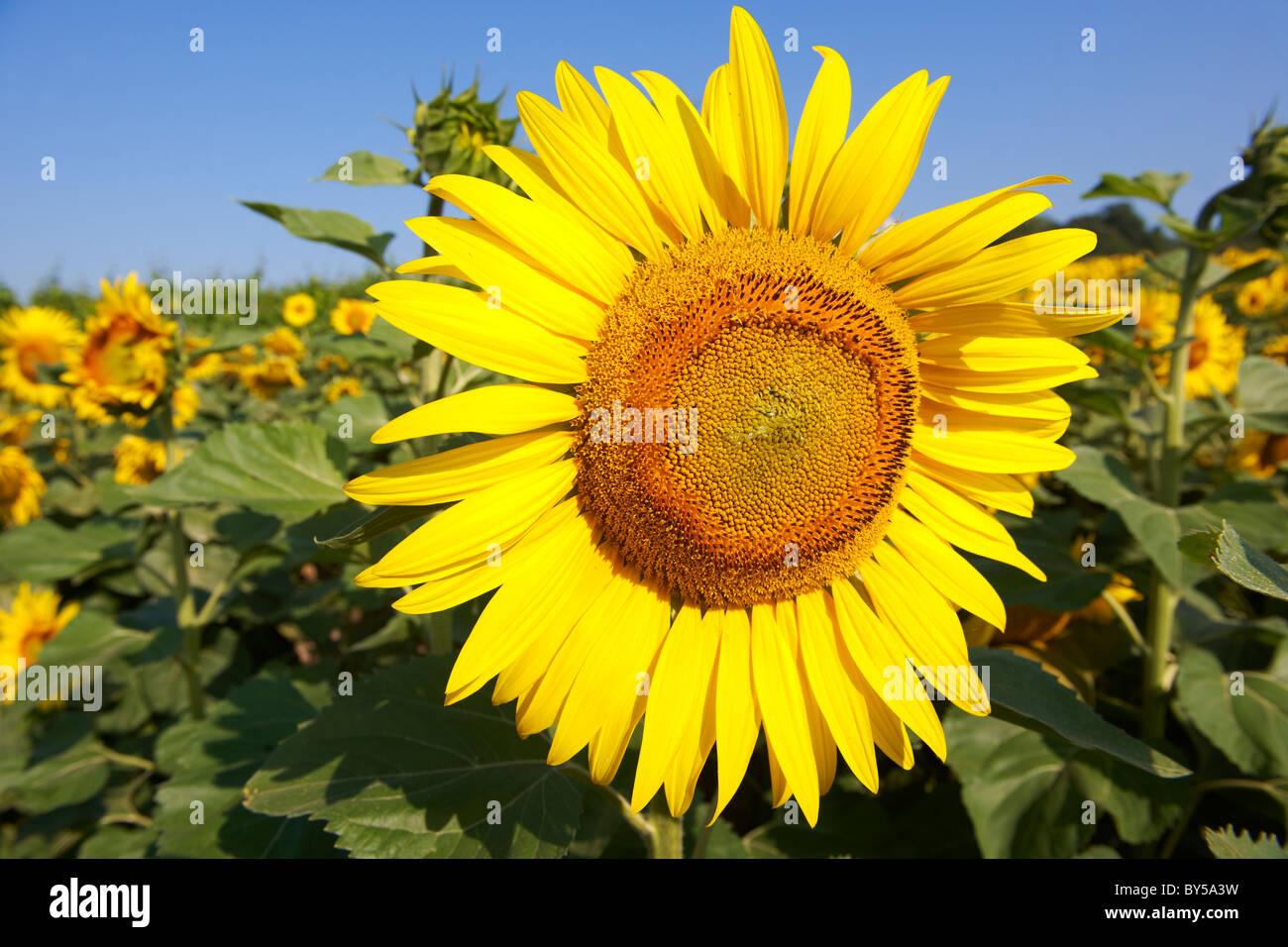 Field of Sunflower flowering heads - Stock Image