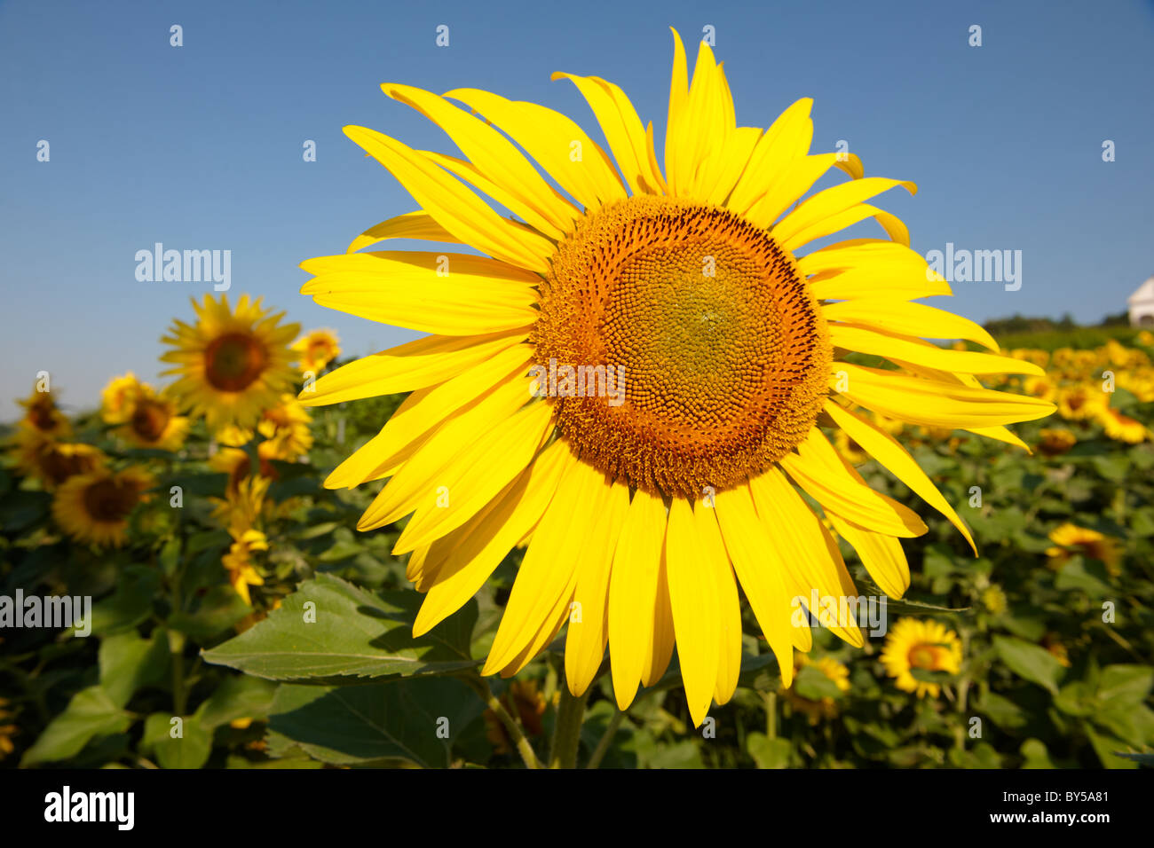 Field of Sunflower flowering heads - Stock Image