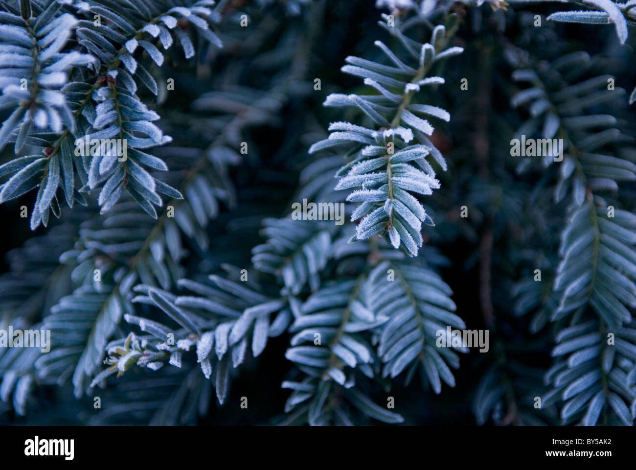 Close up of a frosty yew tree - Stock Image