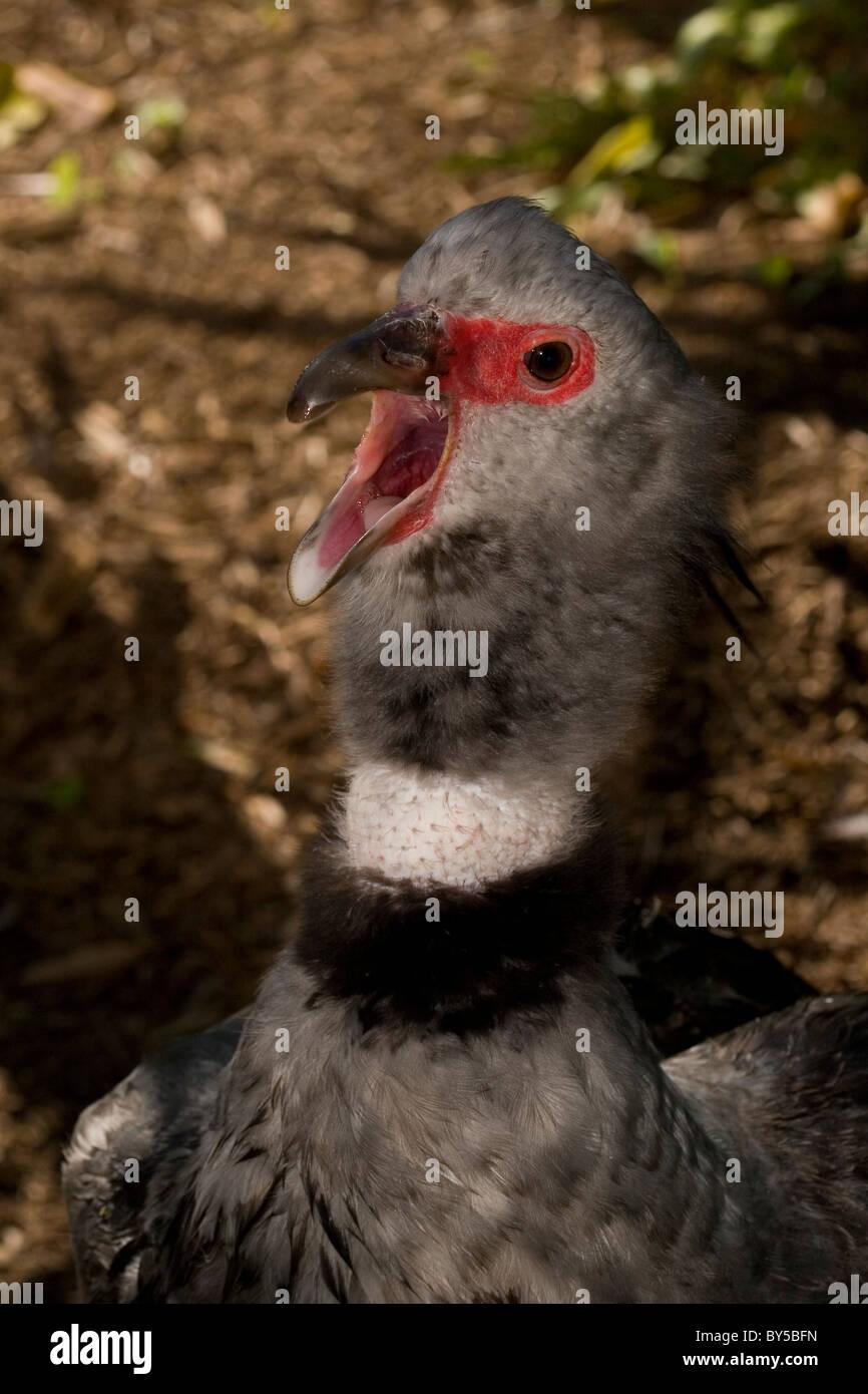Southern Screamer, Chauna torquata, Crested Screamer - Stock Image