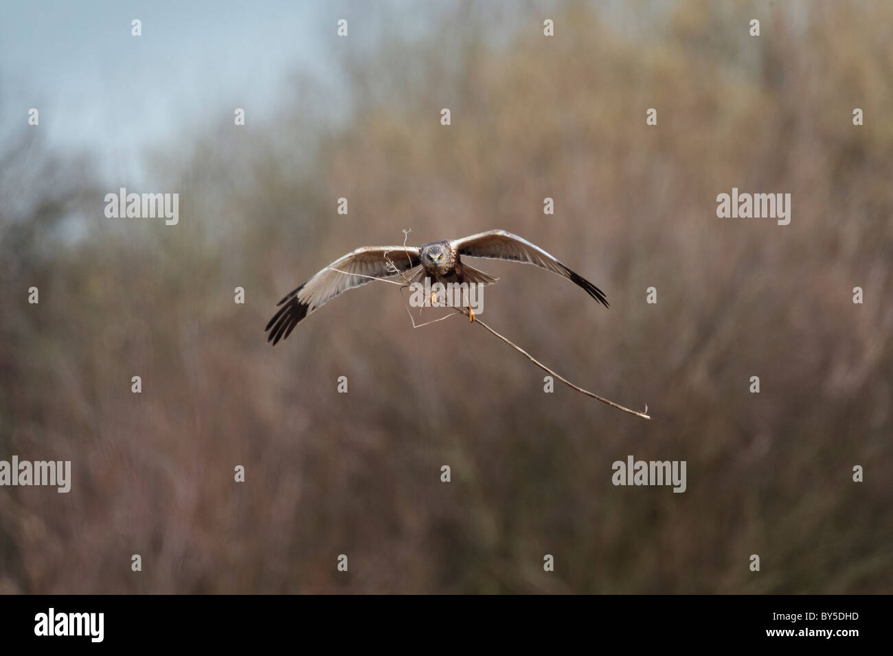Male marsh harrier in flight carrying twigs to make a nest, Stock Photo