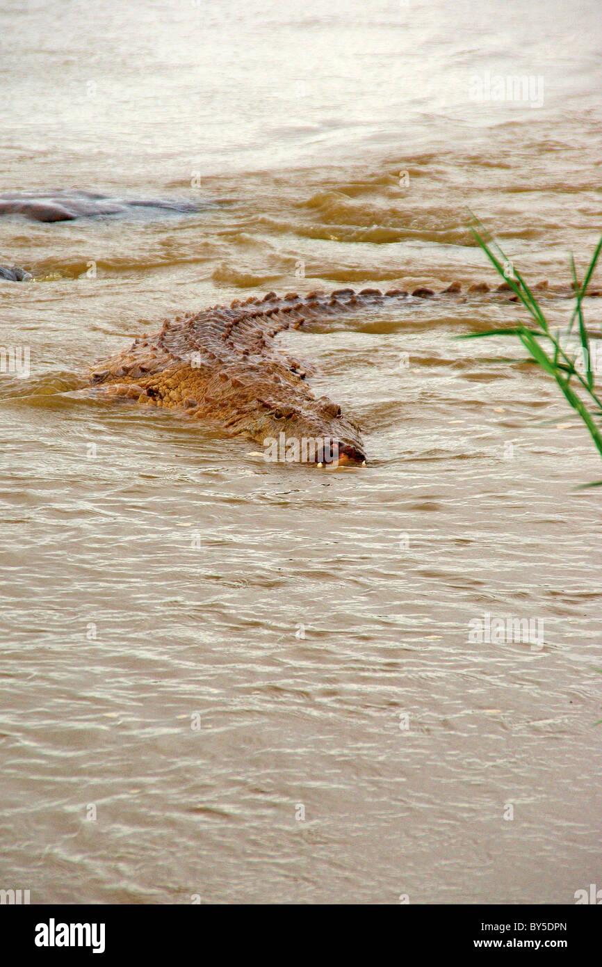 close up of African crocodile, tsavo east, Kenya, Africa - Stock Image