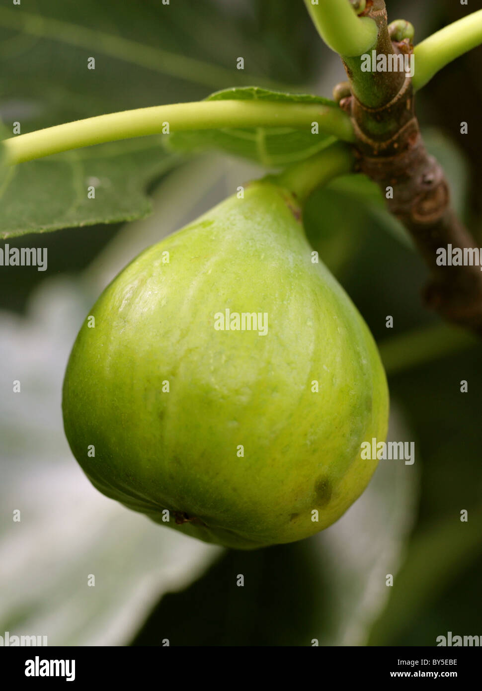 Common Fig, Ficus carica, Moraceae. Mediterranean, South West Asia. Stock Photo