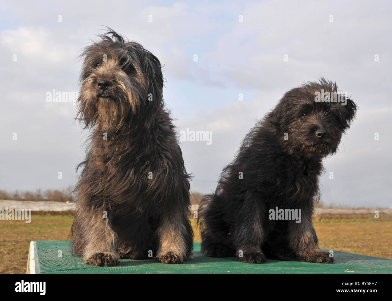 portrait of a dog and puppy purebred pyrenean shepherd - Stock Image