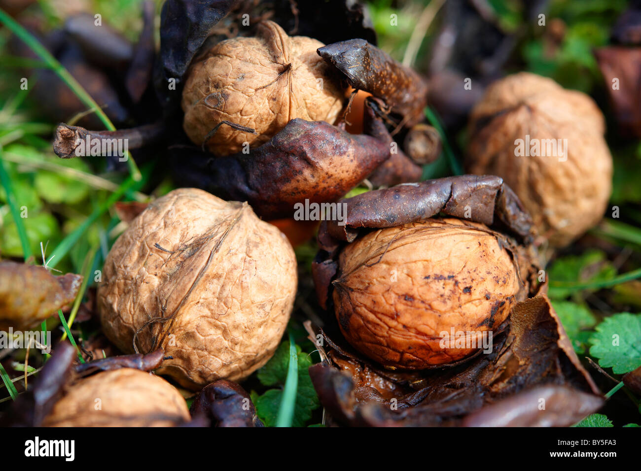 Fresh Walnuts fallen from a tree - Stock Image