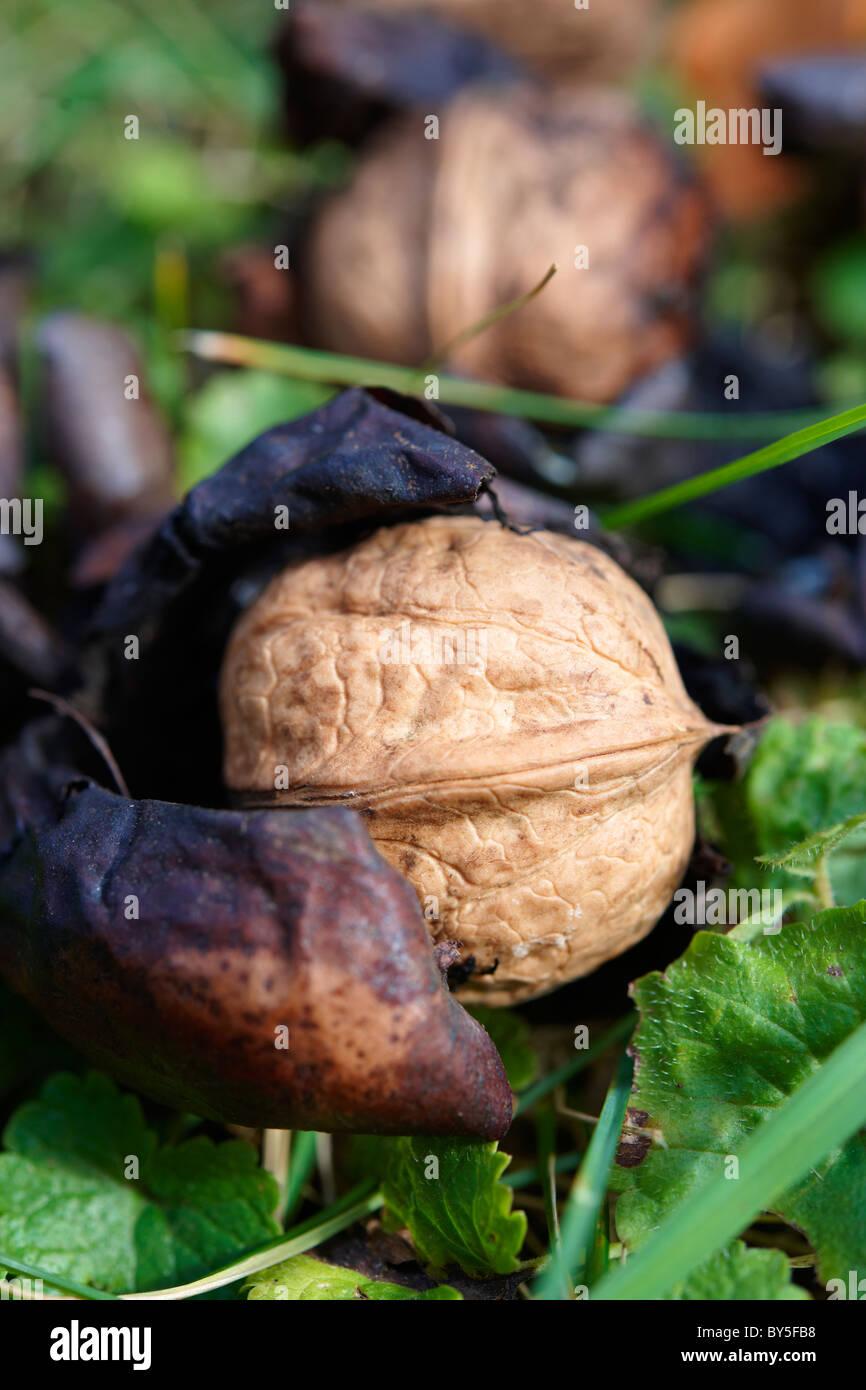 Fresh Walnuts fallen from a tree Stock Photo