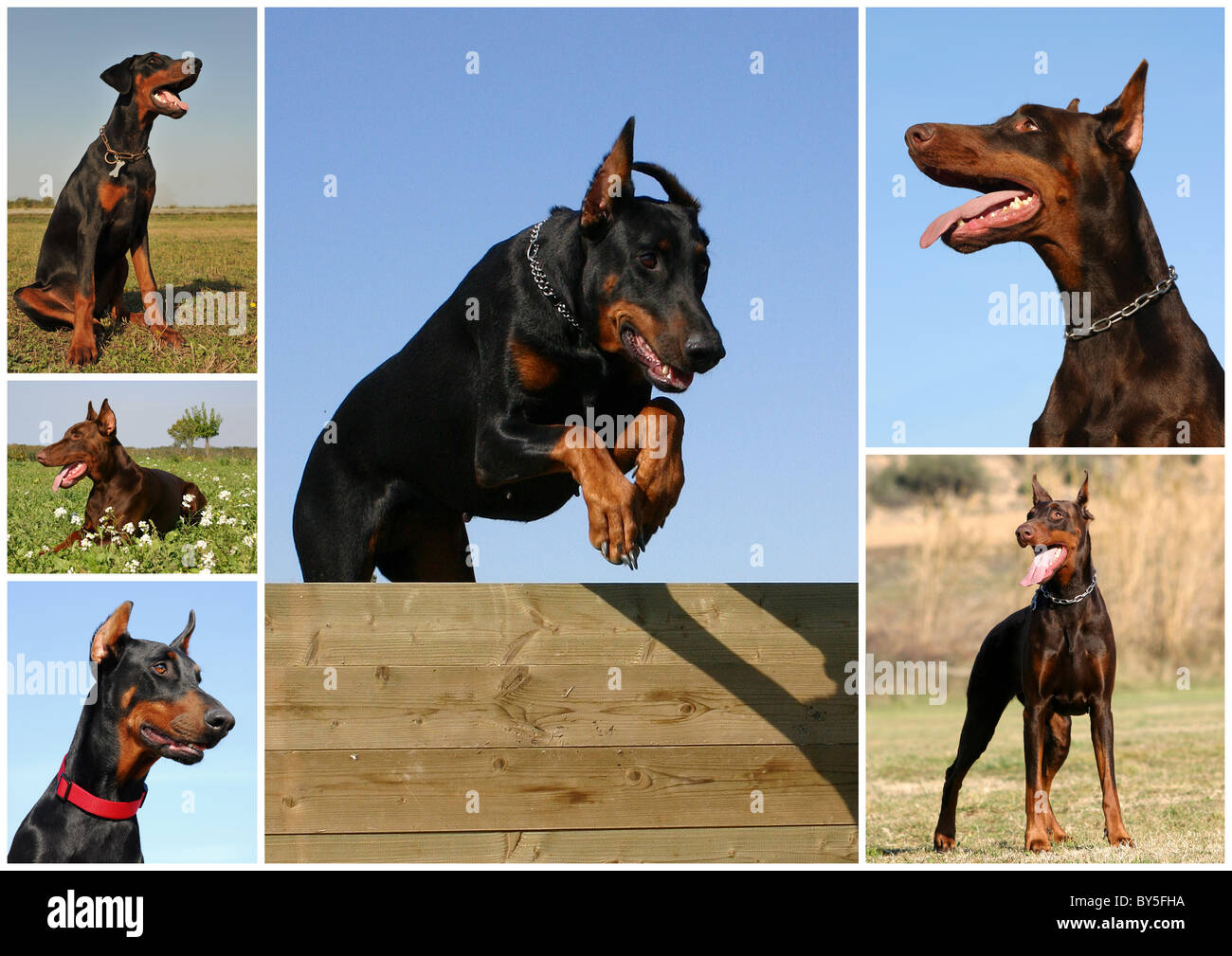 portrait of a purebred doberman pinscher in the field or jumping dog - Stock Image