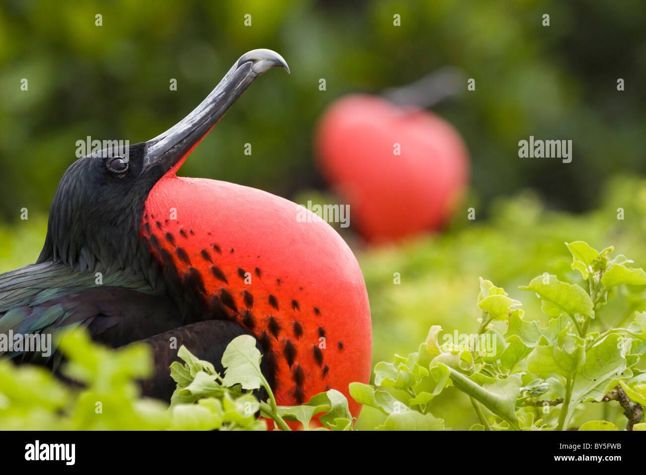 Birds Magnificient Frigatebird Fregata magnificens Genovesa Darwin Bay The Galapagos Islands Stock Photo