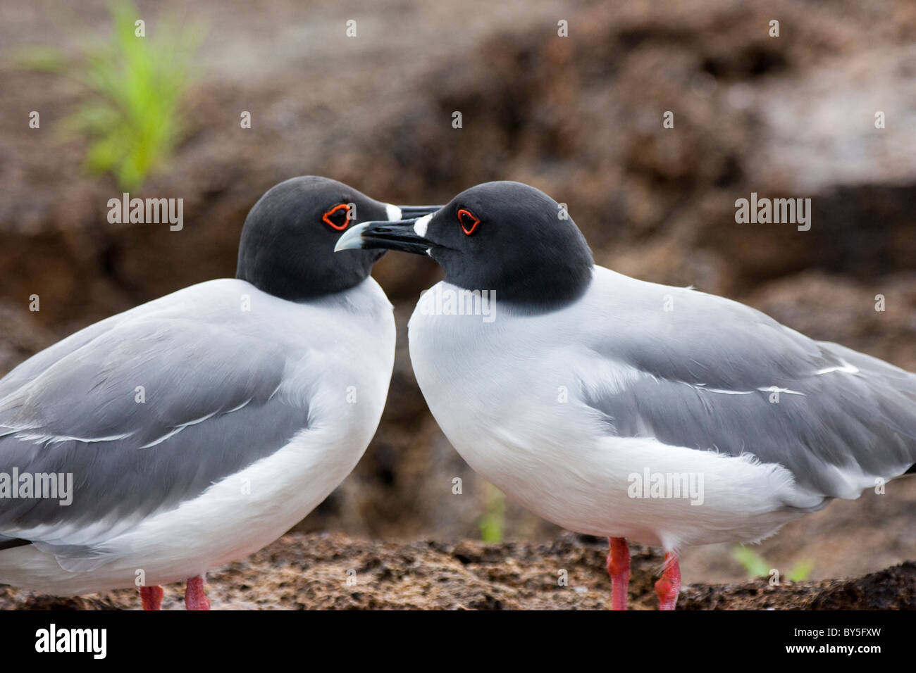 Birds Swallow-tailed Gull Creagrus furcatus Mating Genovesa Darwin Bay The Galapagos Islands - Stock Image