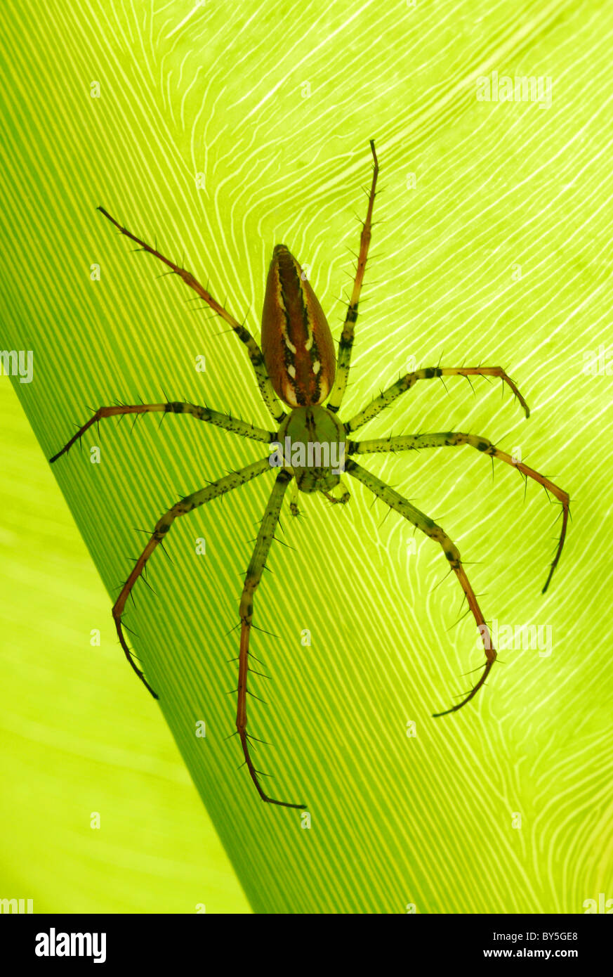 Madagascar Lynx Spider (Peucetia madagascariensis) resting on a leaf in Antsirabe, central Madagascar. August 2010. - Stock Image