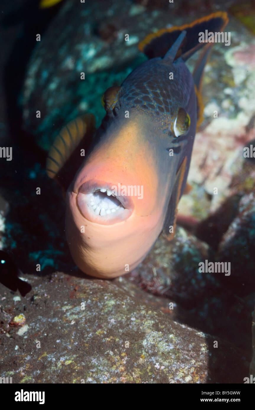 Titan triggerfish (Balistoides viridescens).  Bali, Indonesia. - Stock Image