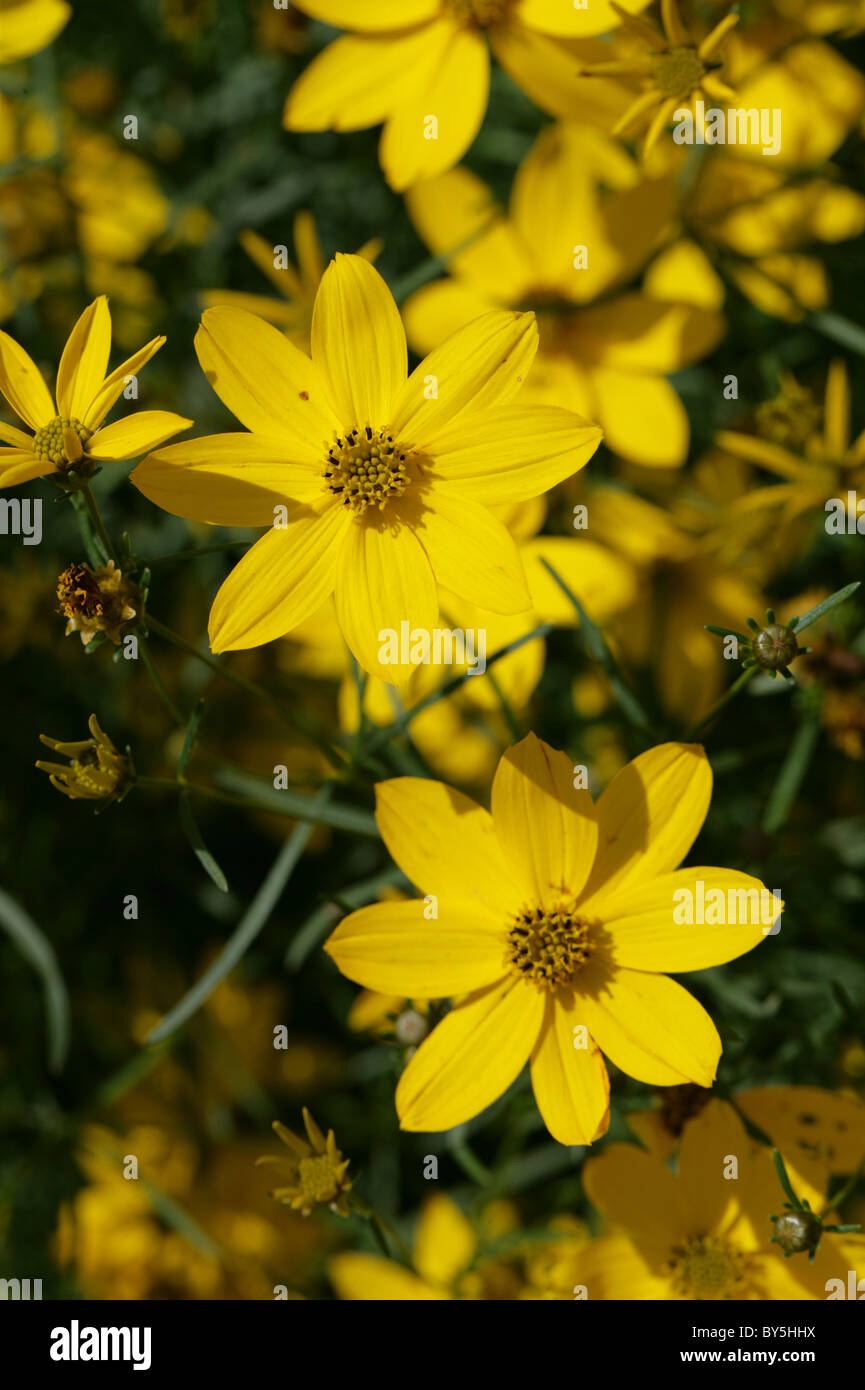 Thread-leaf Coreopsis ('Golden Gain'), Coreopsis verticillata, Asteraceae. USA, North America. Aka Tickseed, - Stock Image