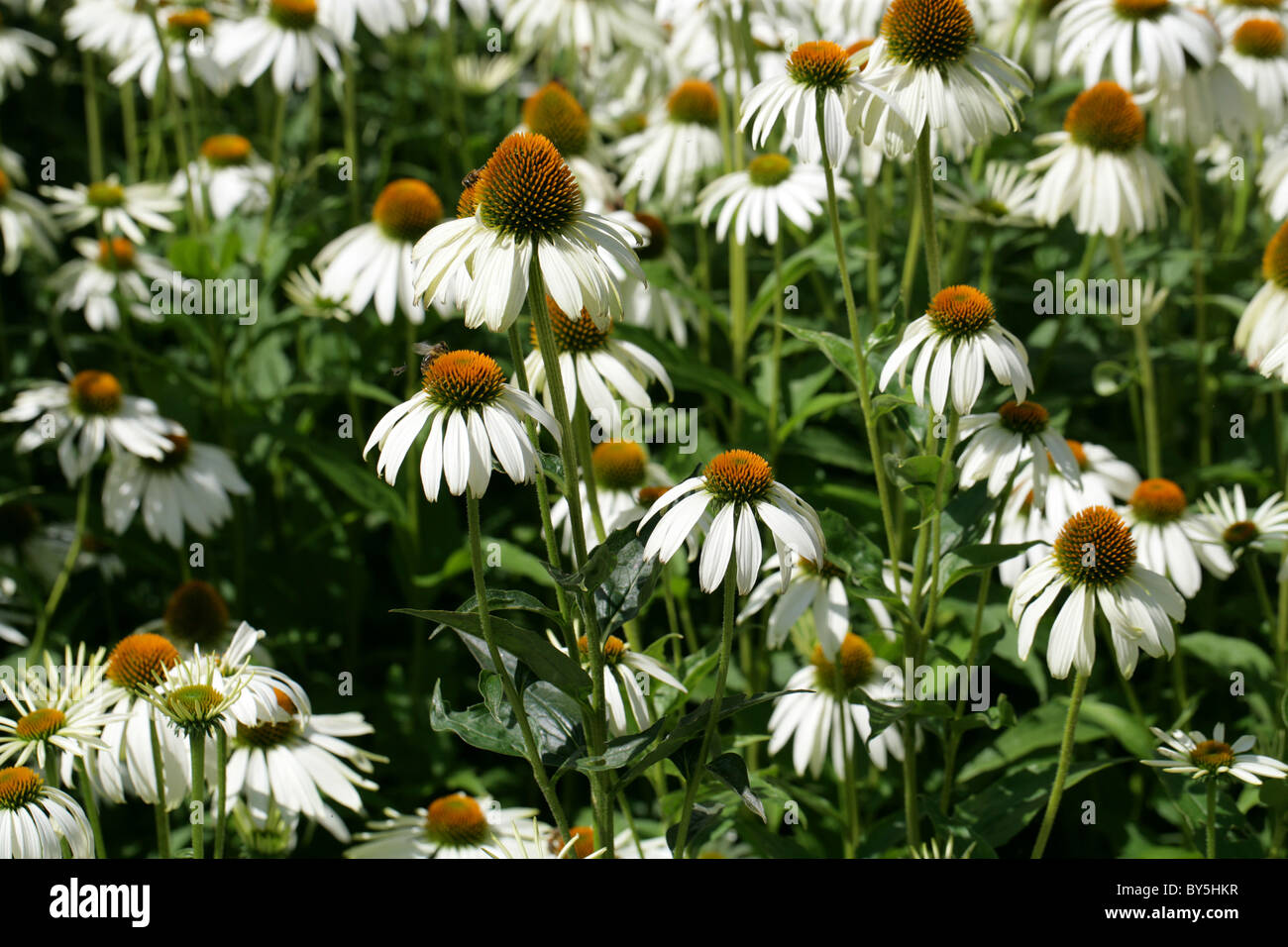 Purple Coneflower or Purple Echinacea, Rudbeckia purpurea (Echinacea purpurea) 'White Swan', Asteraceae. - Stock Image