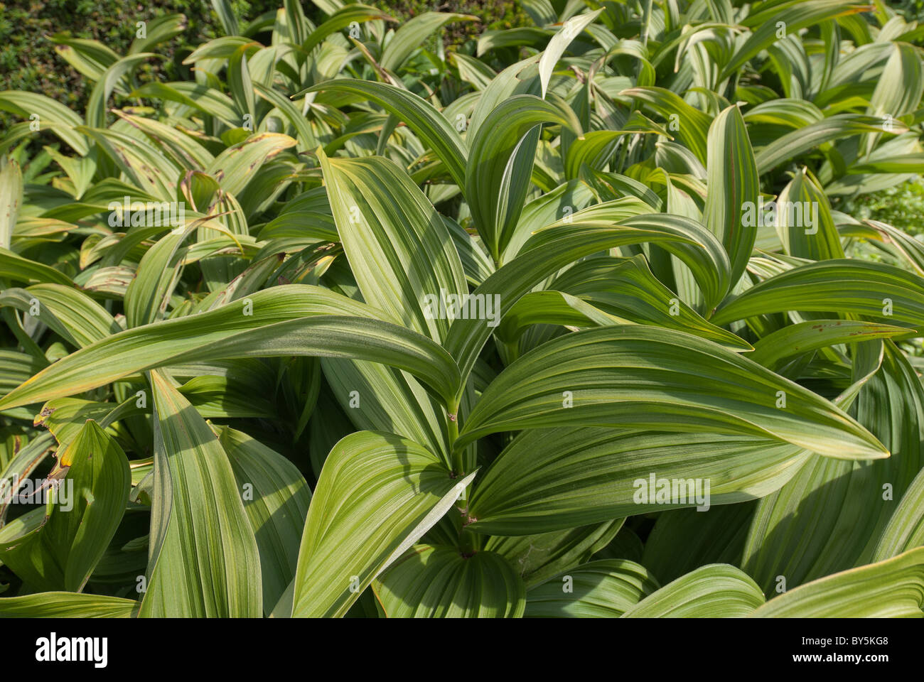 lily leaves new growth in spring time grown for the structure - Stock Image