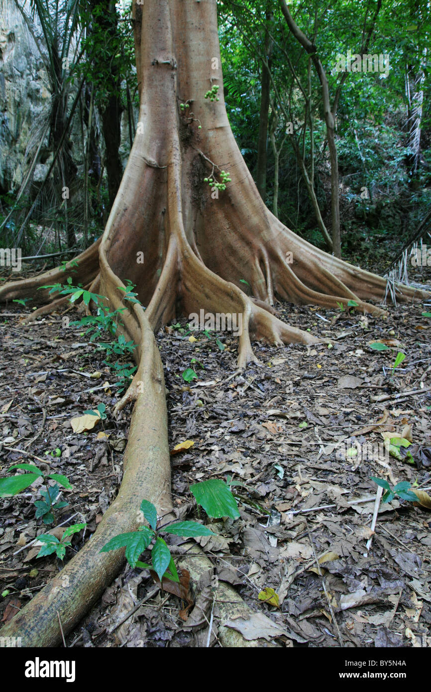 vertical image of fig tree root buttress and tropical forest floor - Stock Image