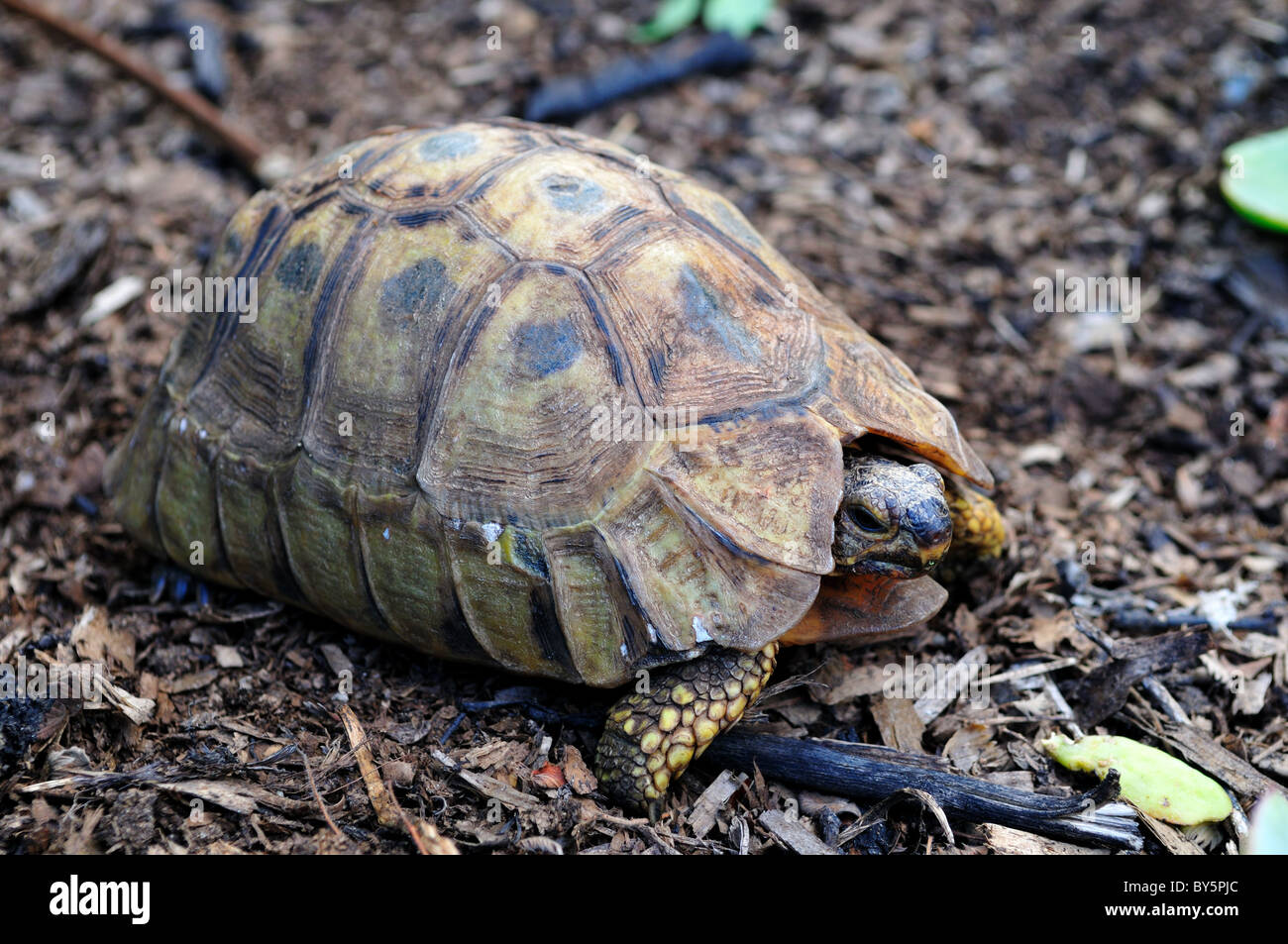 A leopard tortoise. South Africa. - Stock Image