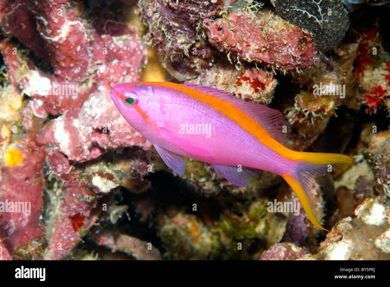 Female Purple Anthias, Pseudanthias tuka Stock Photo