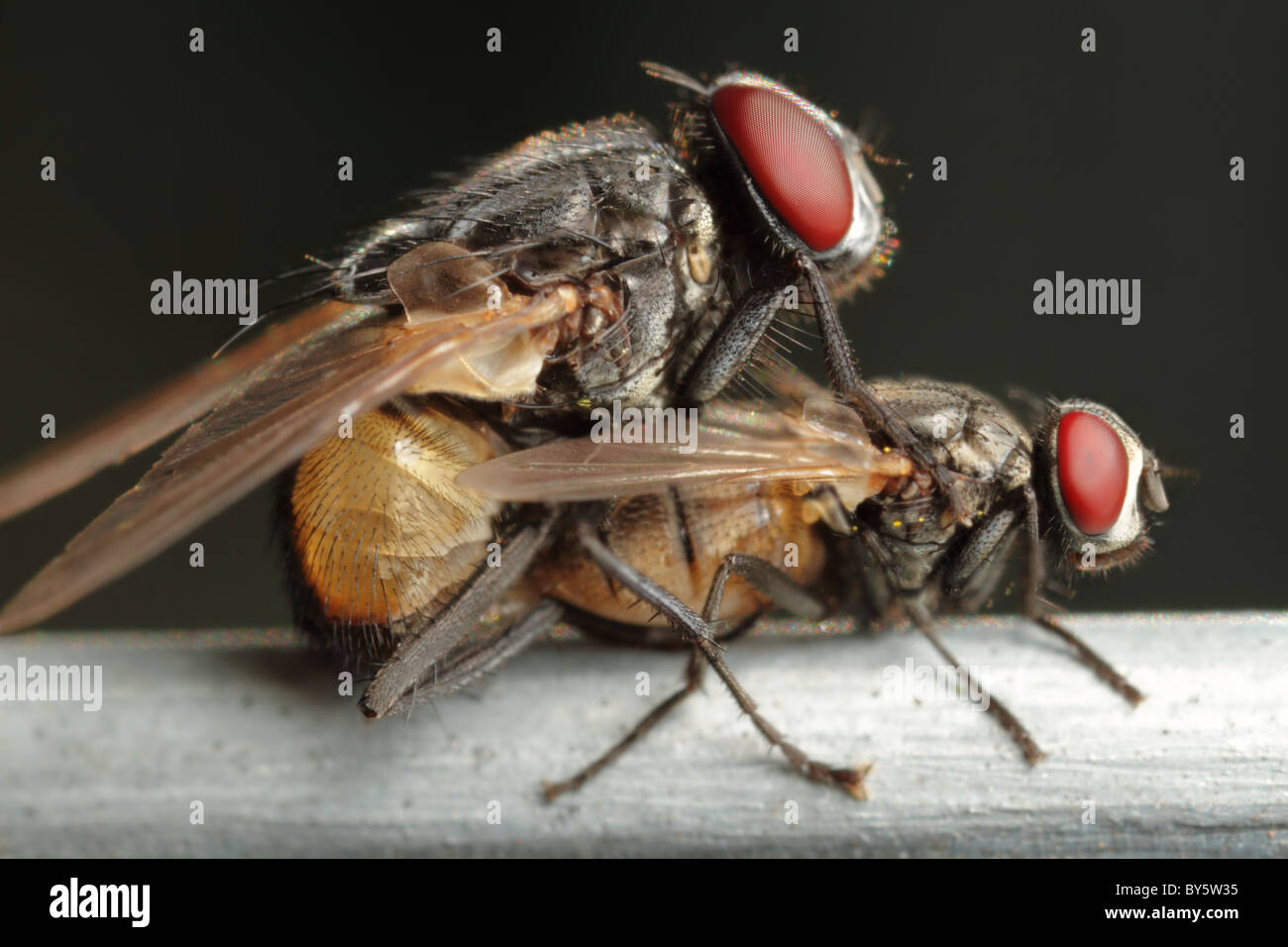 Two flies in the middle of mating process - Stock Image