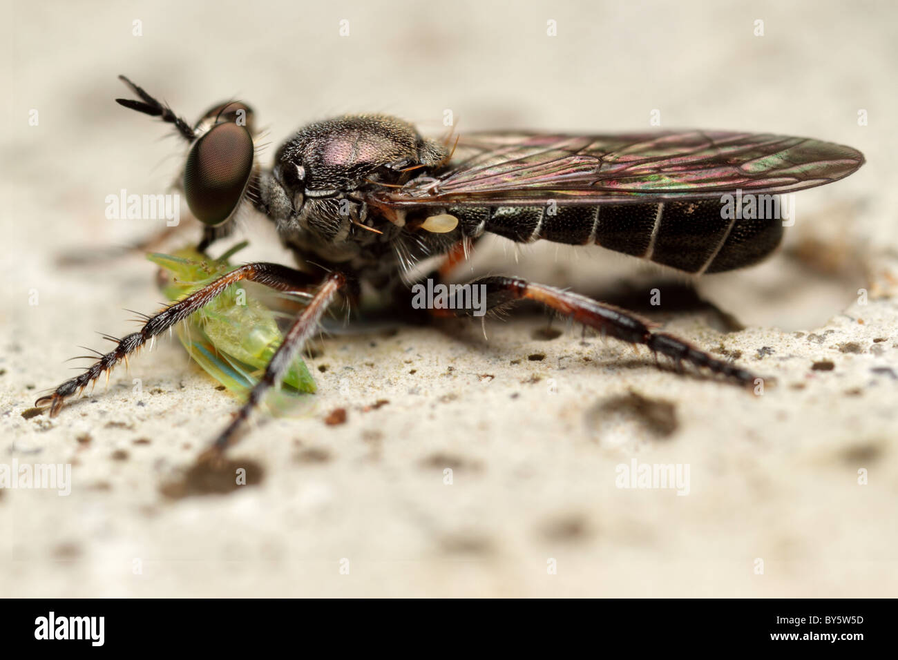 Robber Fly (Atomosia sp) at the time of eating a membracidae - Stock Image