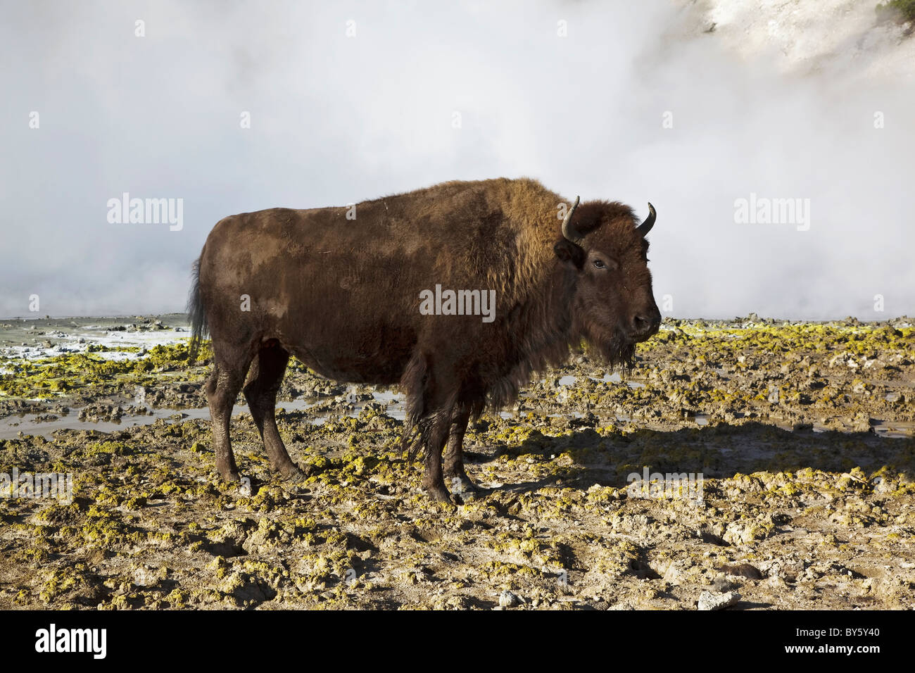 A female American Bison coming across the mud volcano steam vents on the Cooking hillside in central Yellowstone - Stock Image