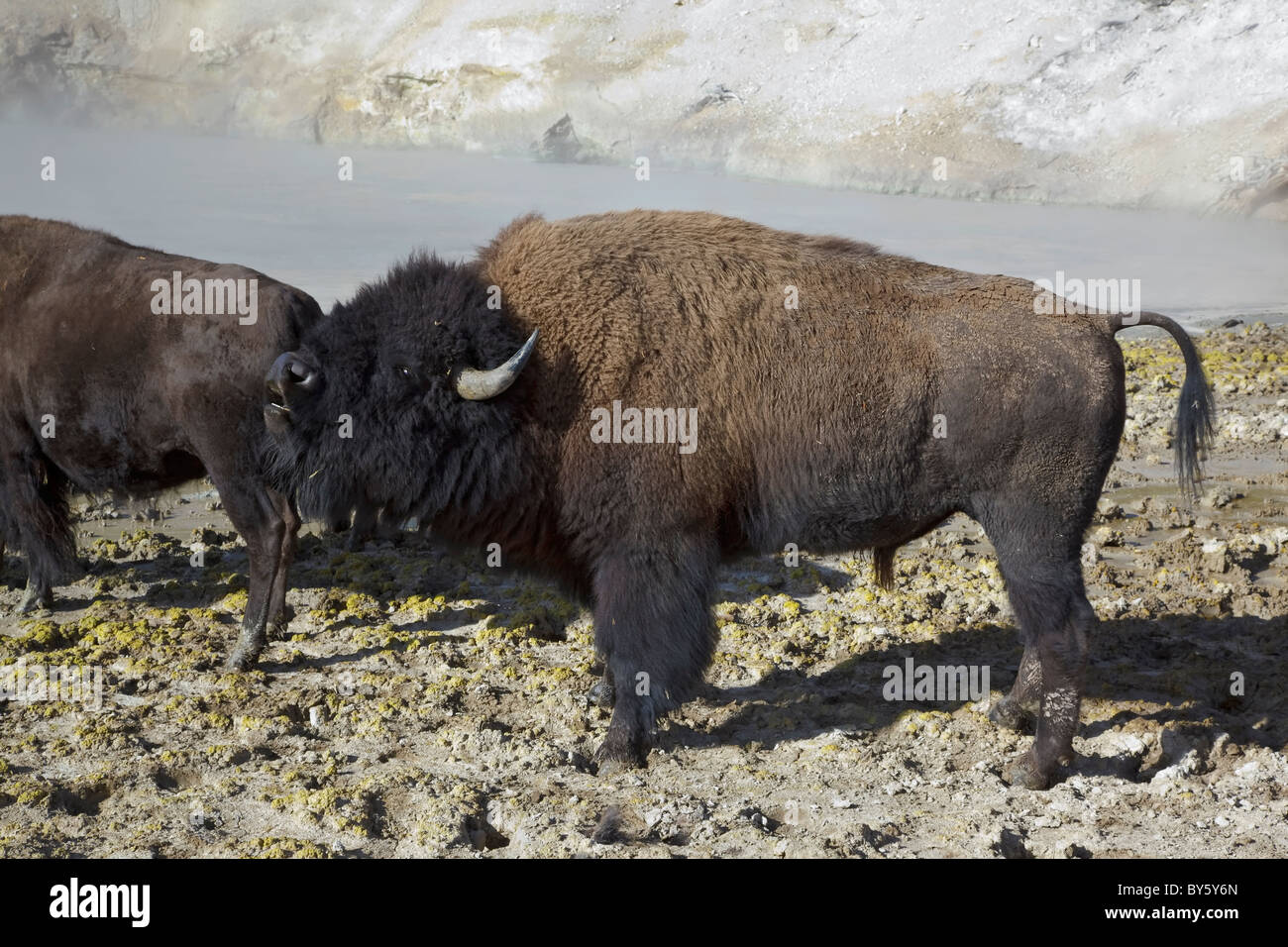 American Bison coming across the mud volcano steam vents on the Cooking hillside in central Yellowstone - Stock Image