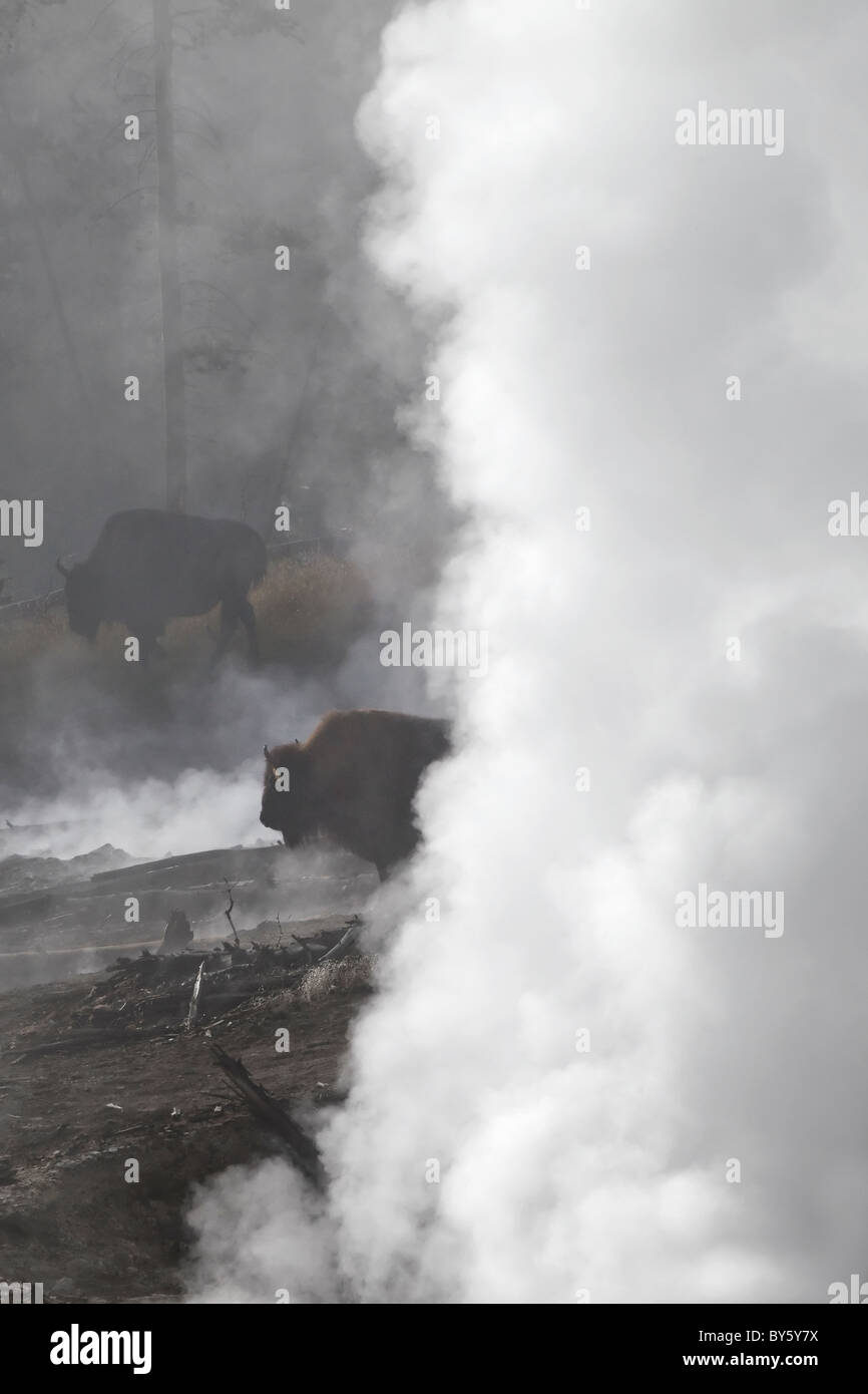 American Bison coming across the steam vents on the Cooking hillside in central Yellowstone - Stock Image