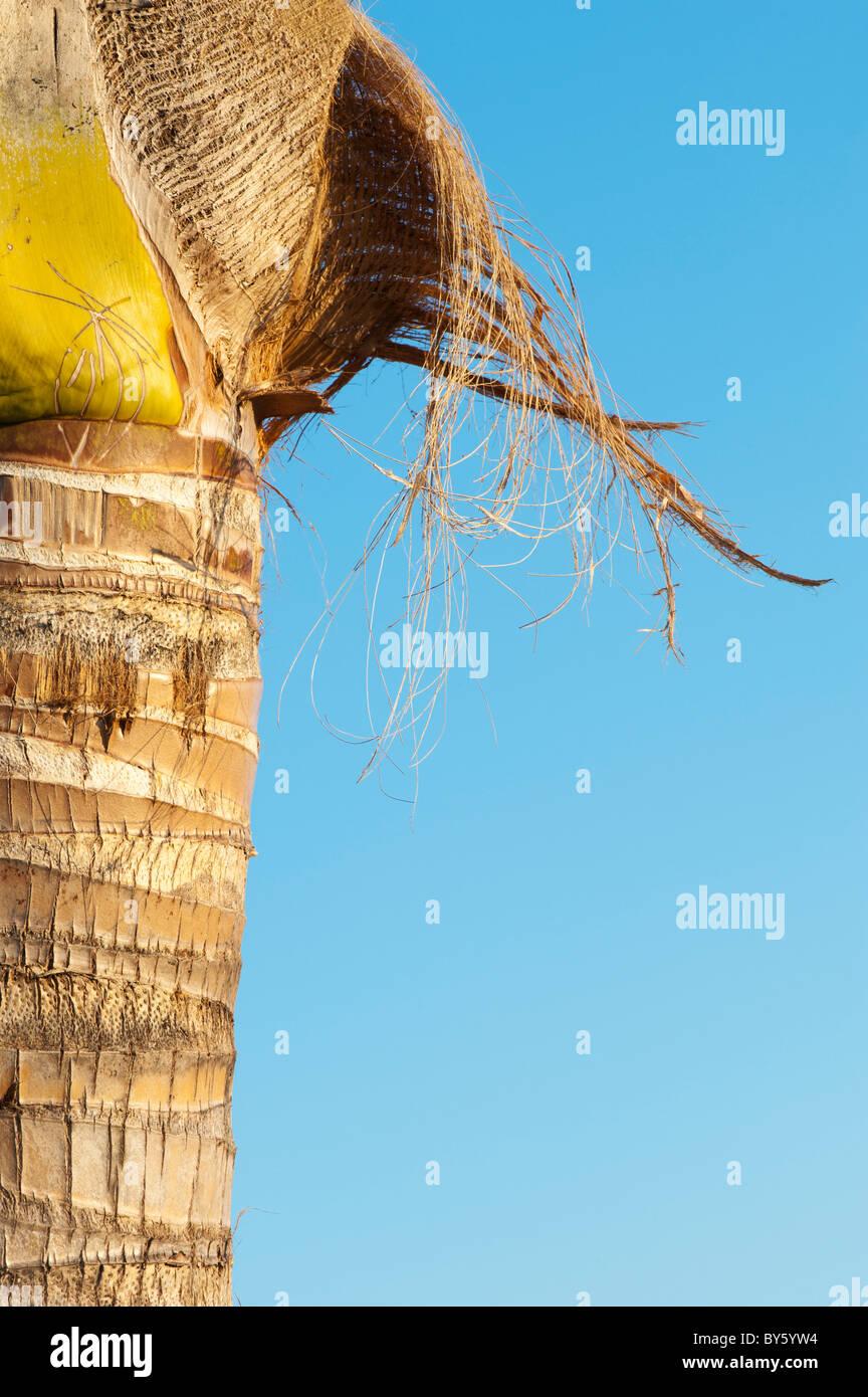 Cocos nucifera. Indian coconut palm tree bark. Andhra Pradesh, India - Stock Image
